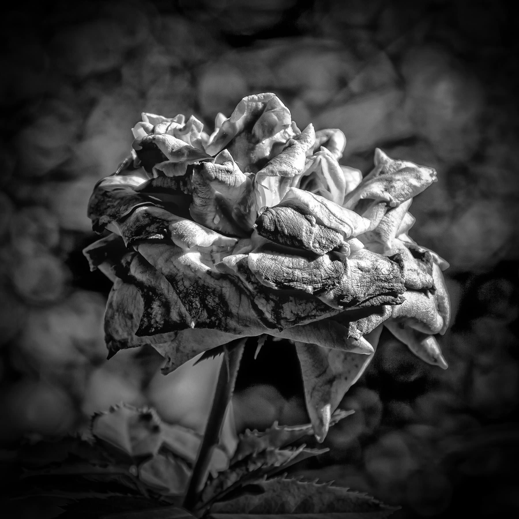 shriveled-rose