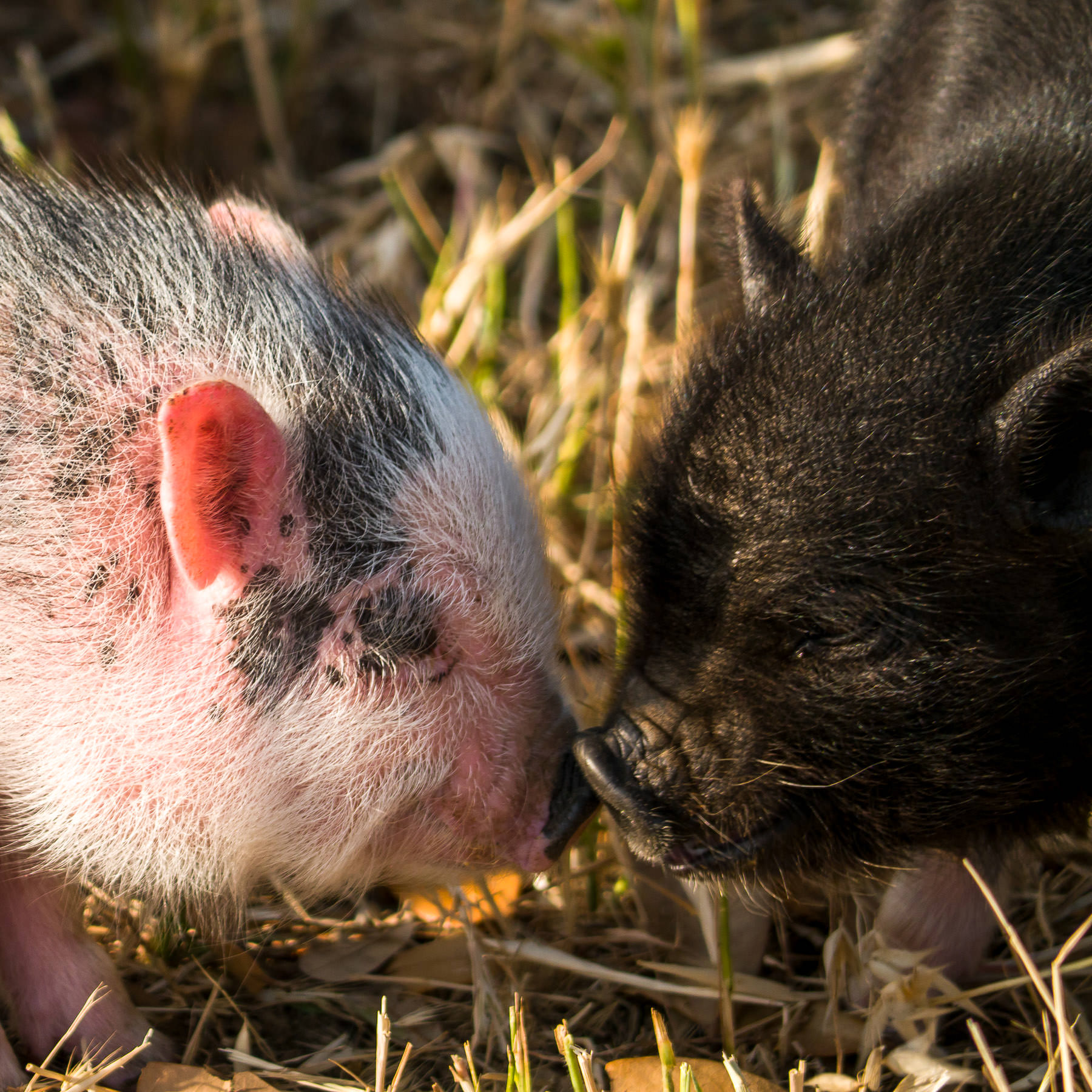 Two piglets nuzzle each other at a petting zoo at the DFW Dragon Boat Festival.