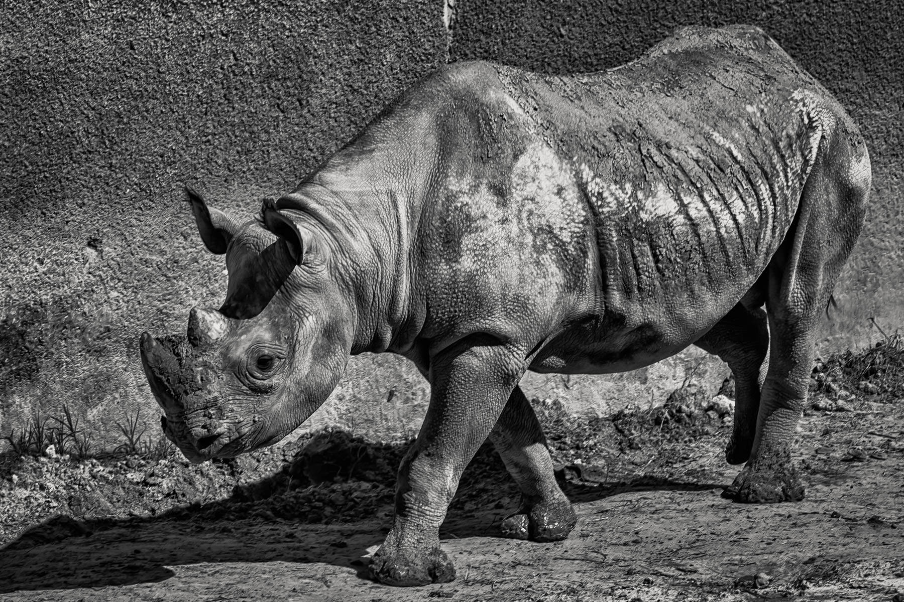 A rhinoceros walks through his habitat at Tyler, Texas' Caldwell Zoo.