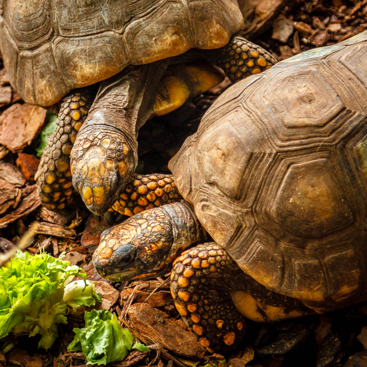 Two tortoises vie for lunch at the Dallas World Aquarium.