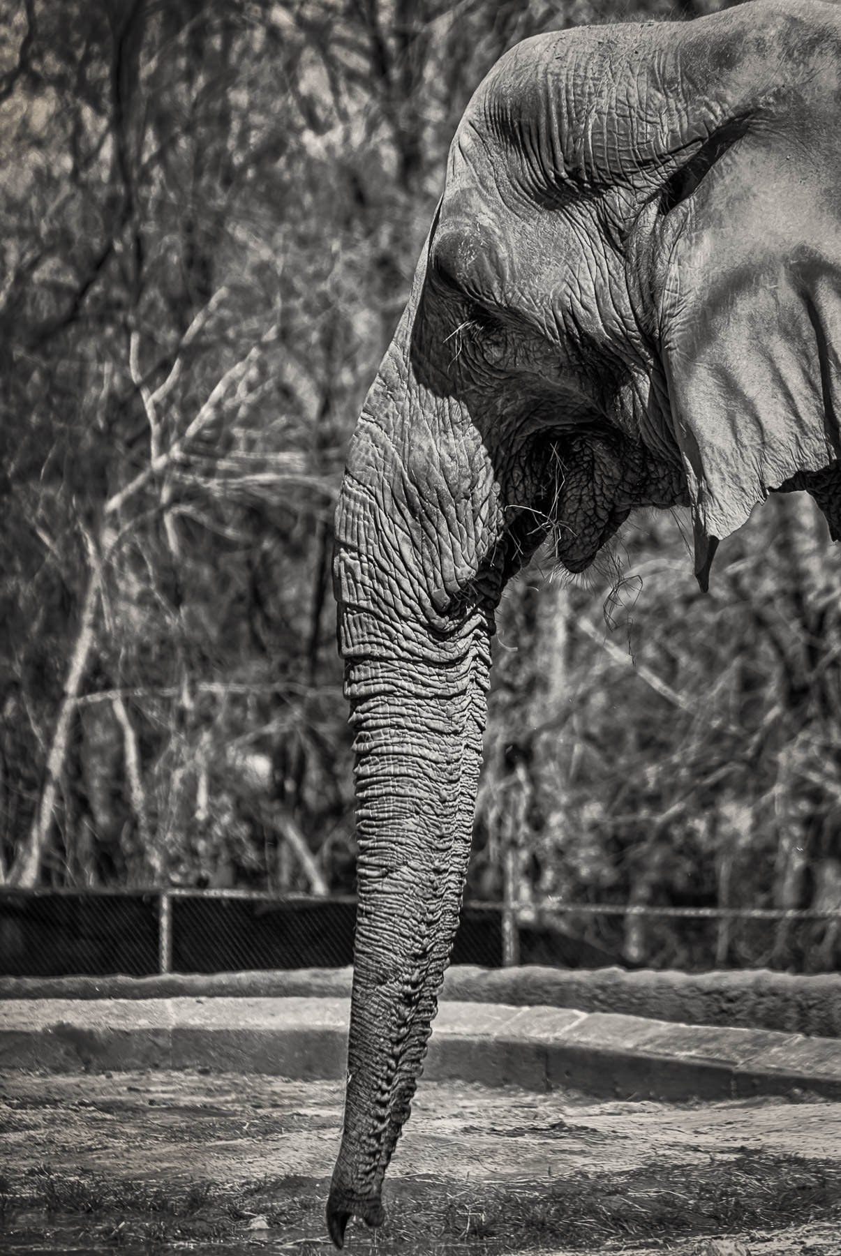 An elephant shows off his trunk at Tyler, Texas' Caldwell Zoo.
