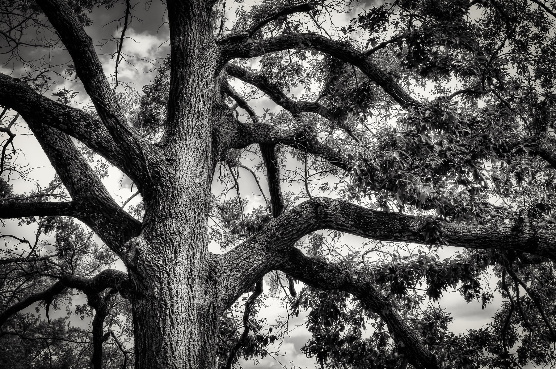 Detail of a large tree and its branching trunk found at Tyler State Park, Texas.