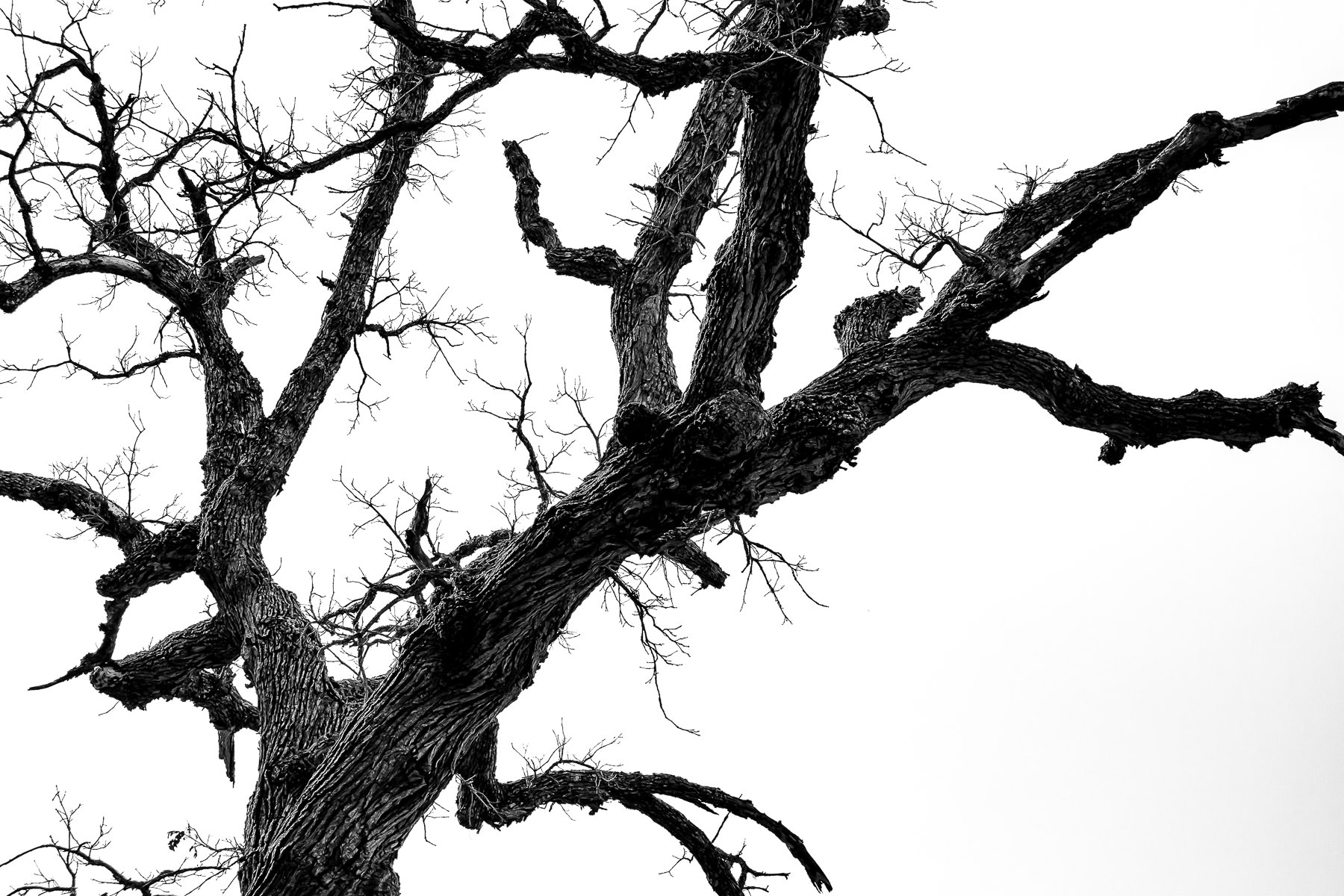 A dead, leafless tree silhouetted by the overcast North Texas sky at Dinosaur Valley State Park.