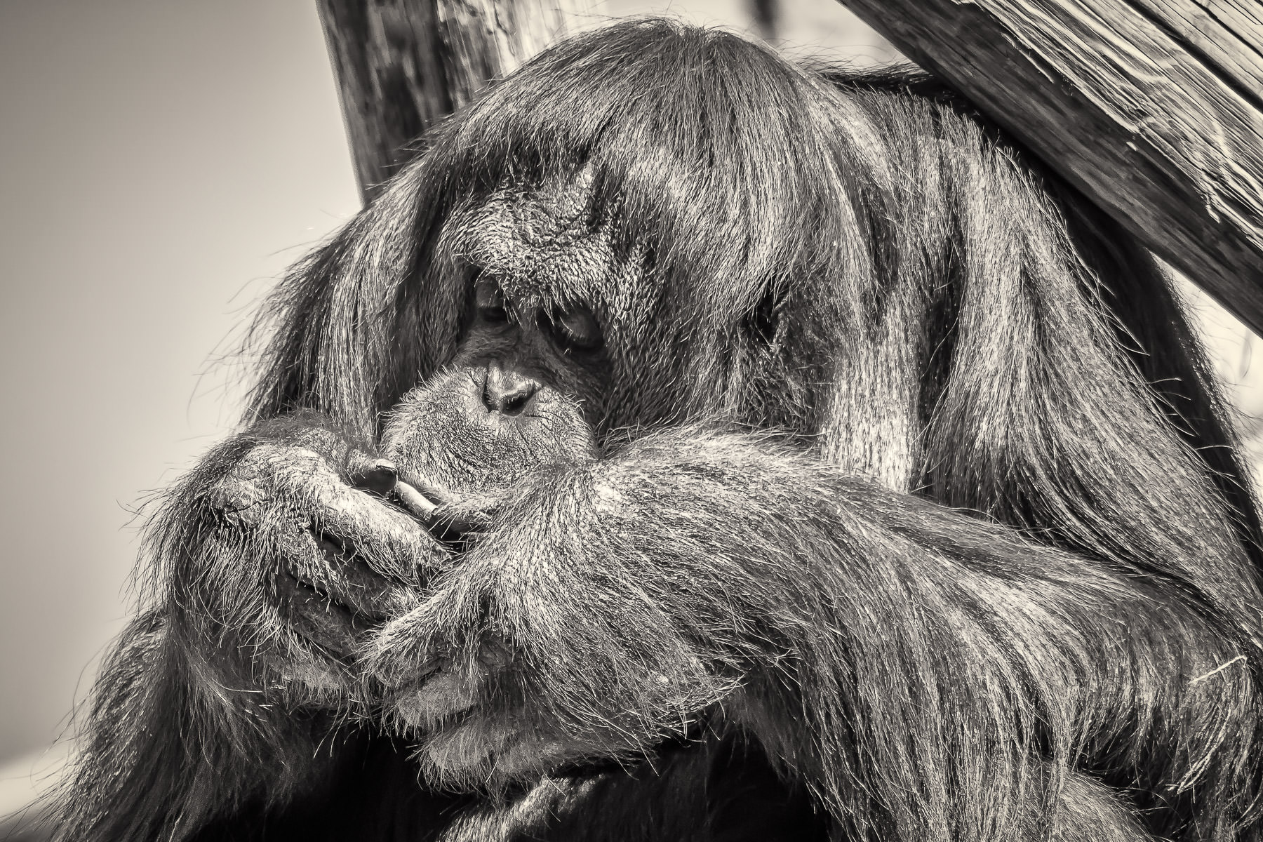 fort worth zoo orangutan