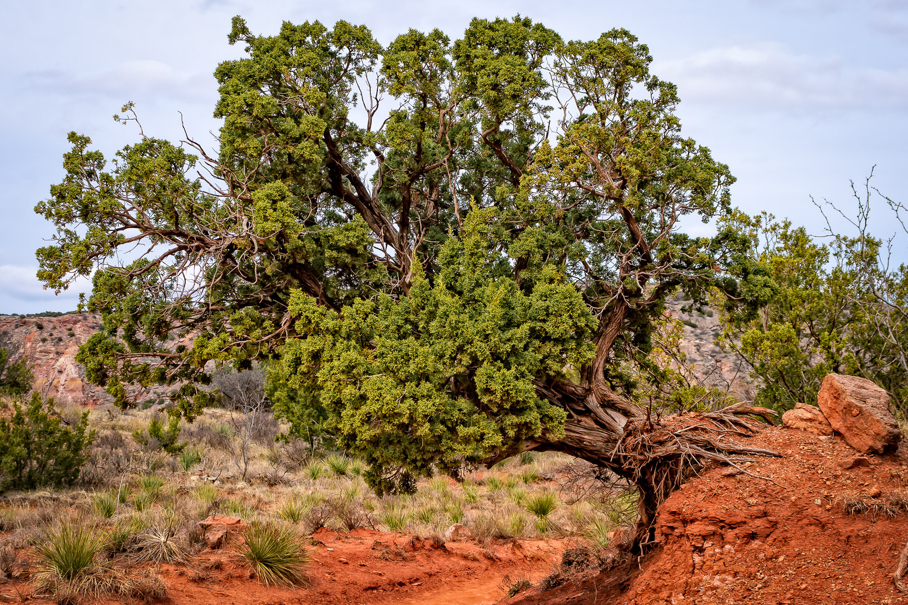 A tree grows out of the side of a berm at Texas' Palo Duro Canyon.