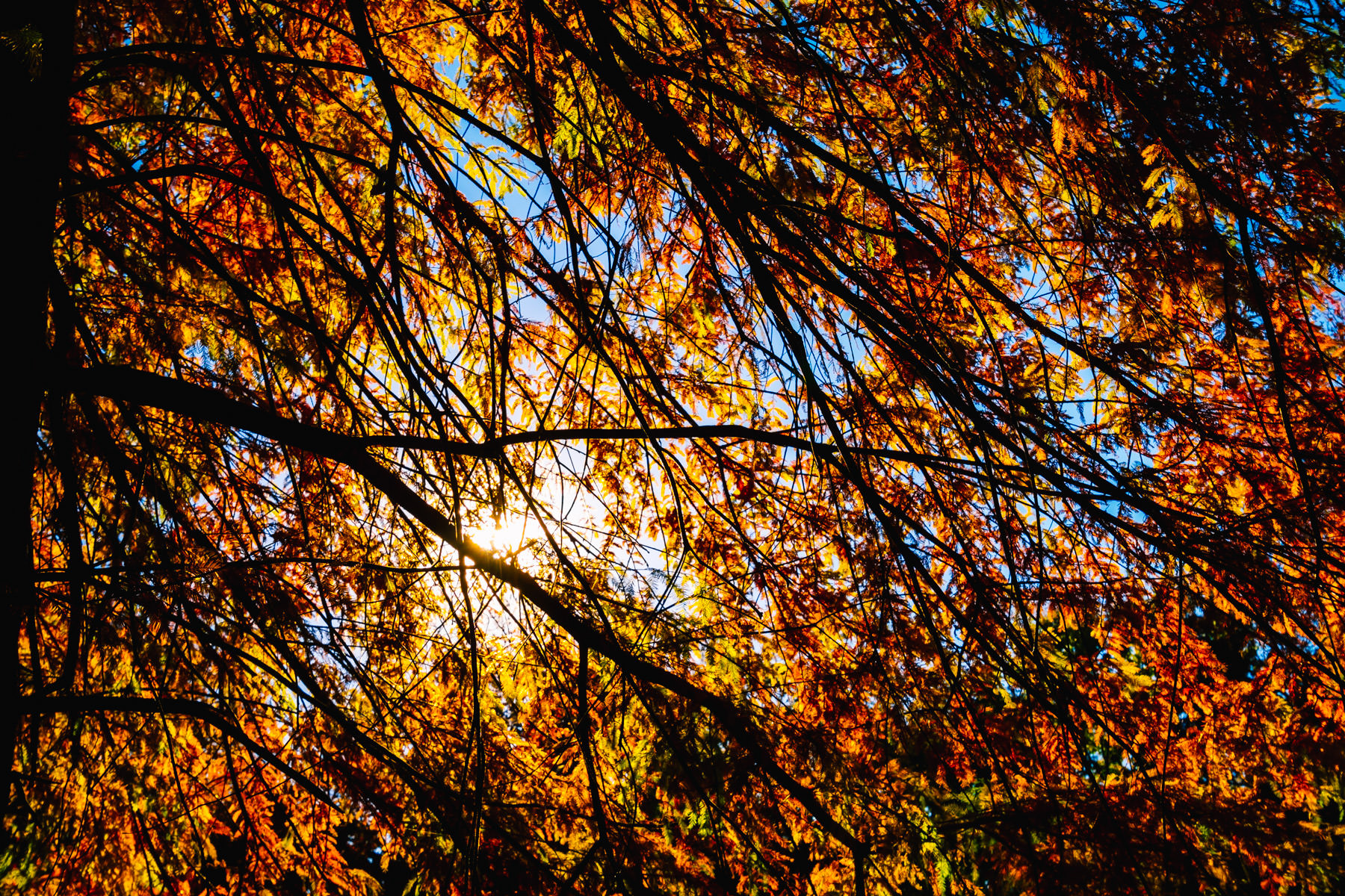 The sun shines through the multi-colored leaves of a tree in Tyler, Texas' Bergfeld Park on a cool autumn day.