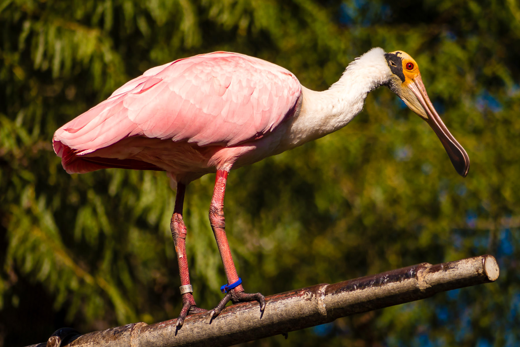 A Roseate Spoonbill perched on a pole in its habitat at the Fort Worth Zoo, Texas.