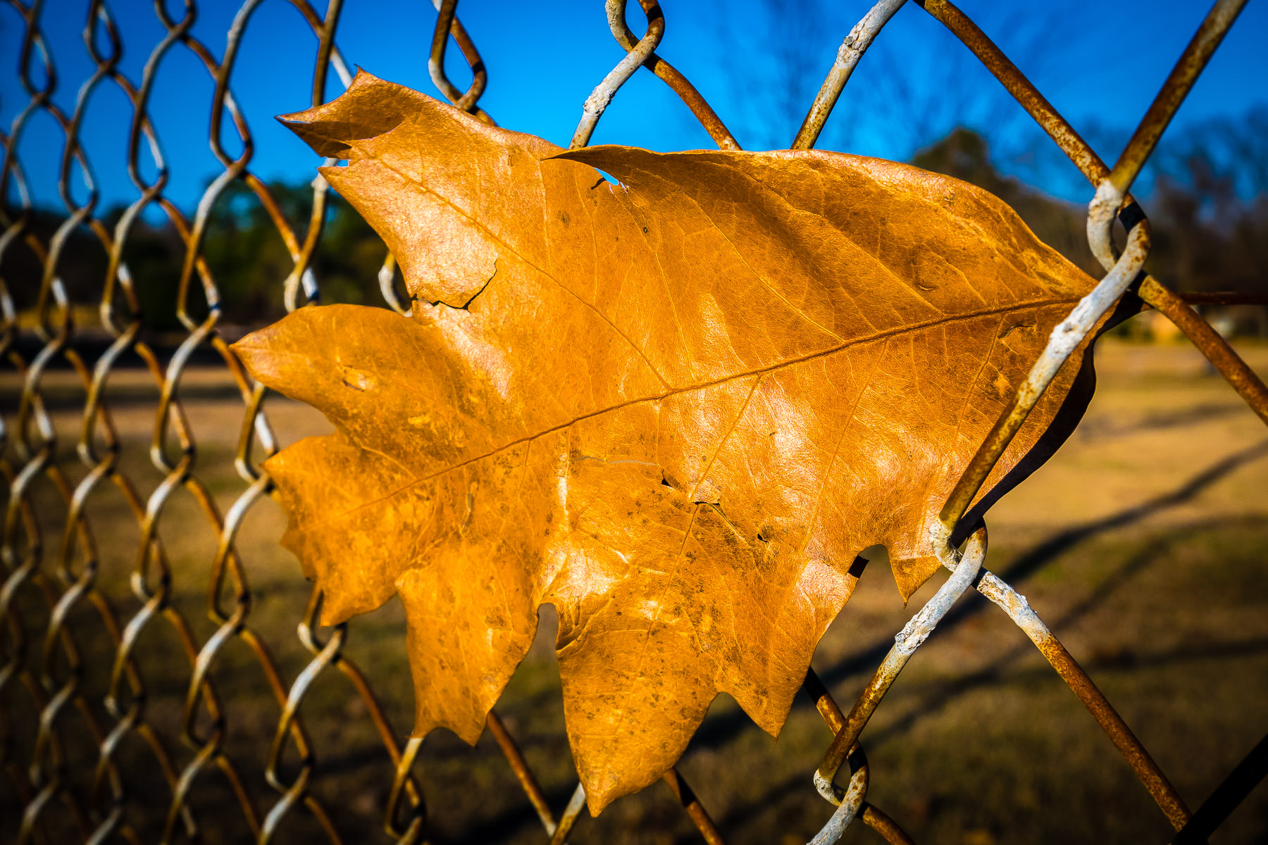 A dead leaf, swept by the wind into a chainlink fence at Tyler, Texas' Pollard Park.