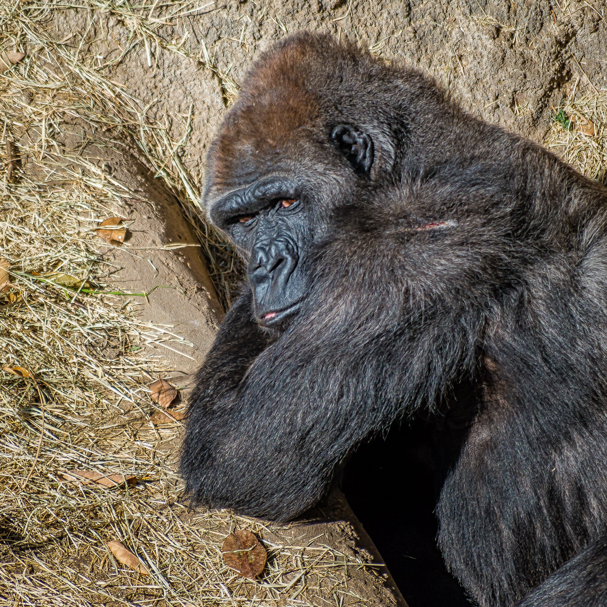 A gorilla at the Dallas Zoo seems to resent having his photo taken.