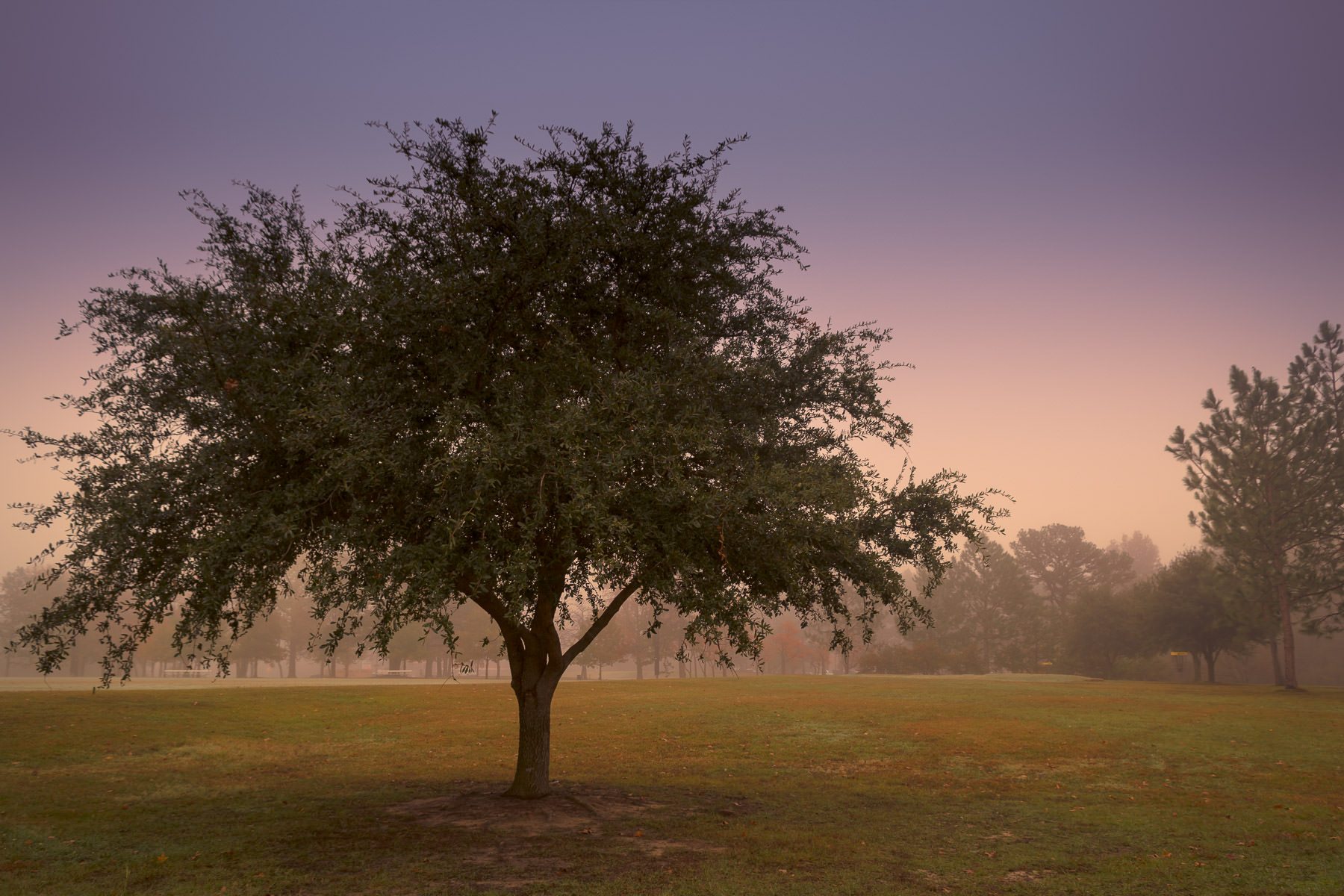 A tree on a foggy morning on the campus of the University of Texas at Tyler.