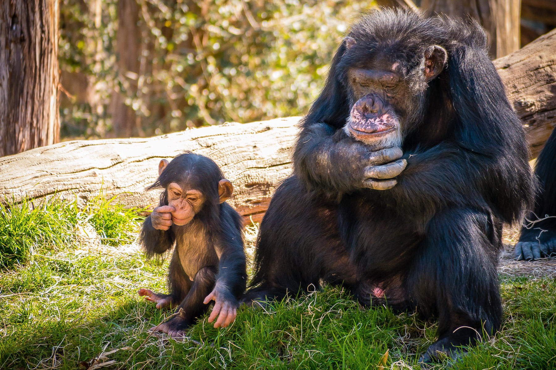 Two generations of a chimpanzee family at the Dallas Zoo.