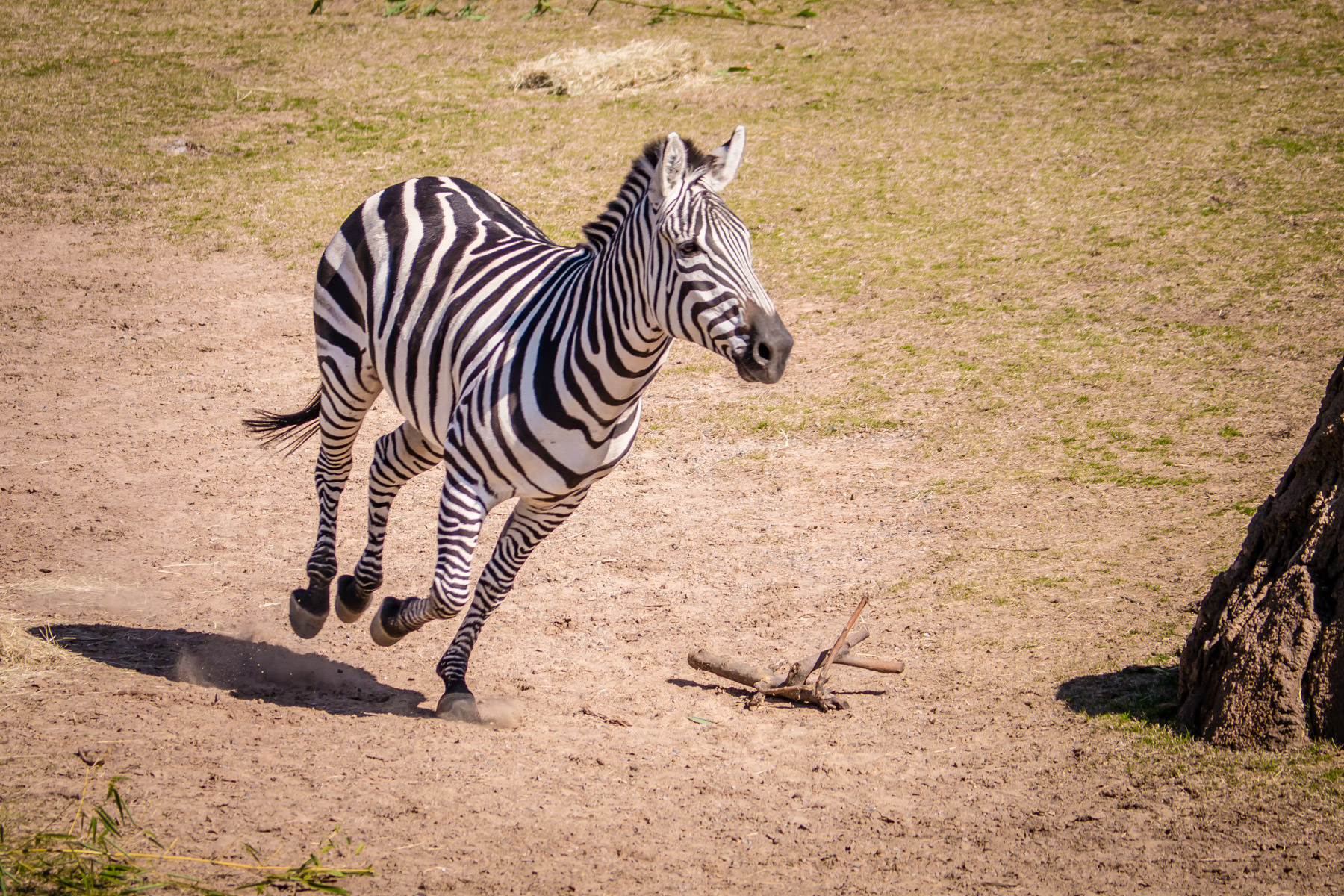 A zebra at the Dallas Zoo runs through his habitat.