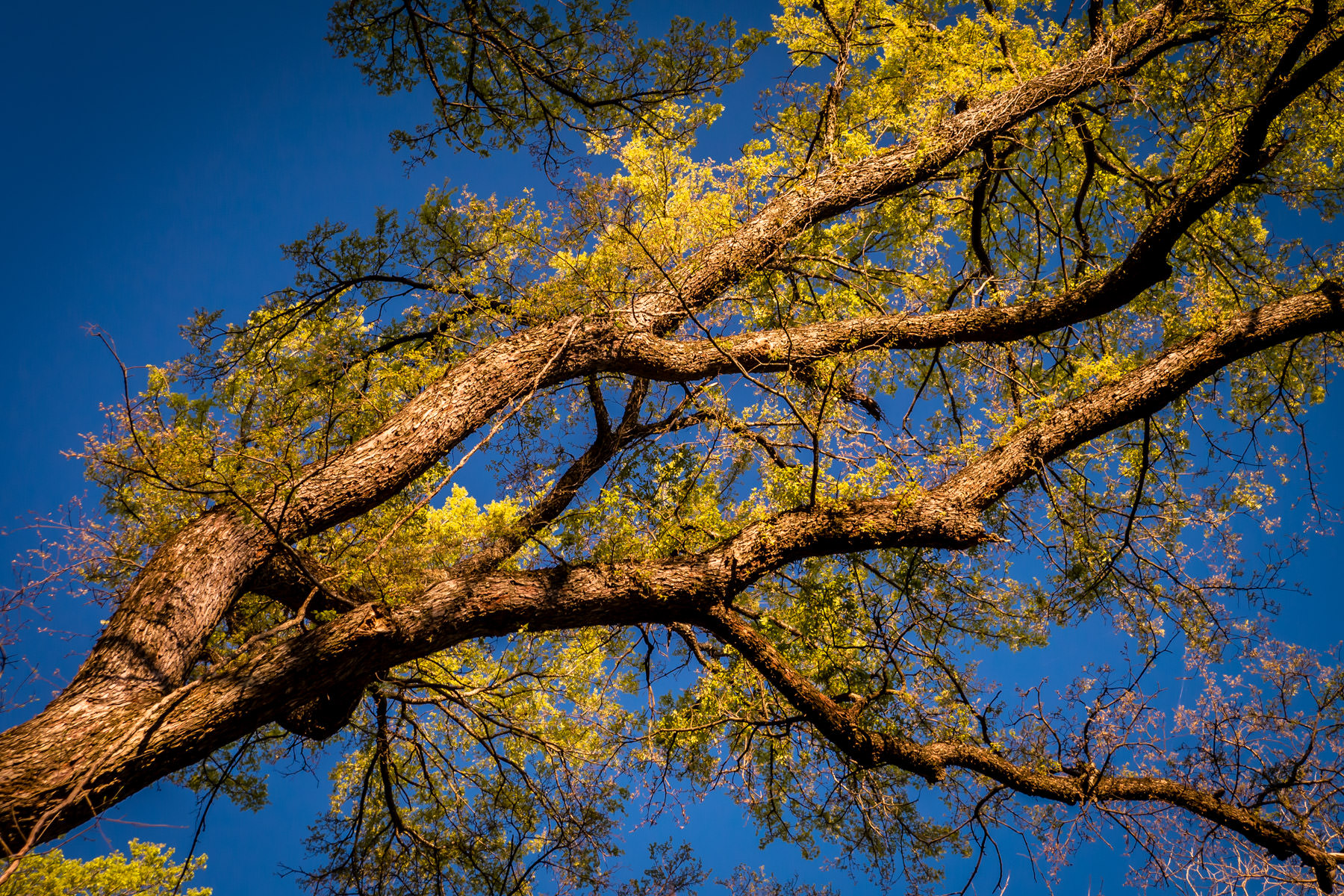 A tree seems to reach across the blue sky over North Texas in Dallas' Great Trinity Forest.