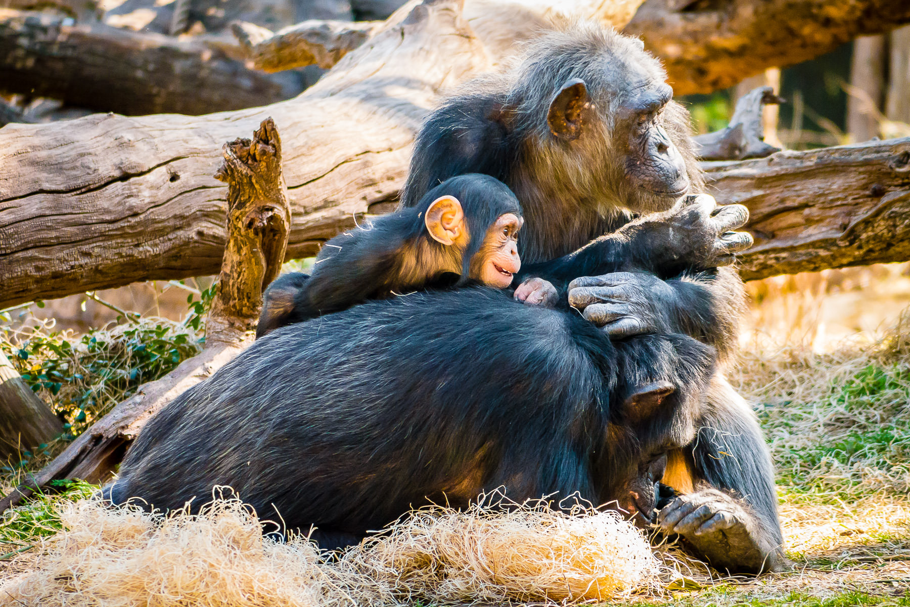 A family of chimpanzees at the Dallas Zoo.