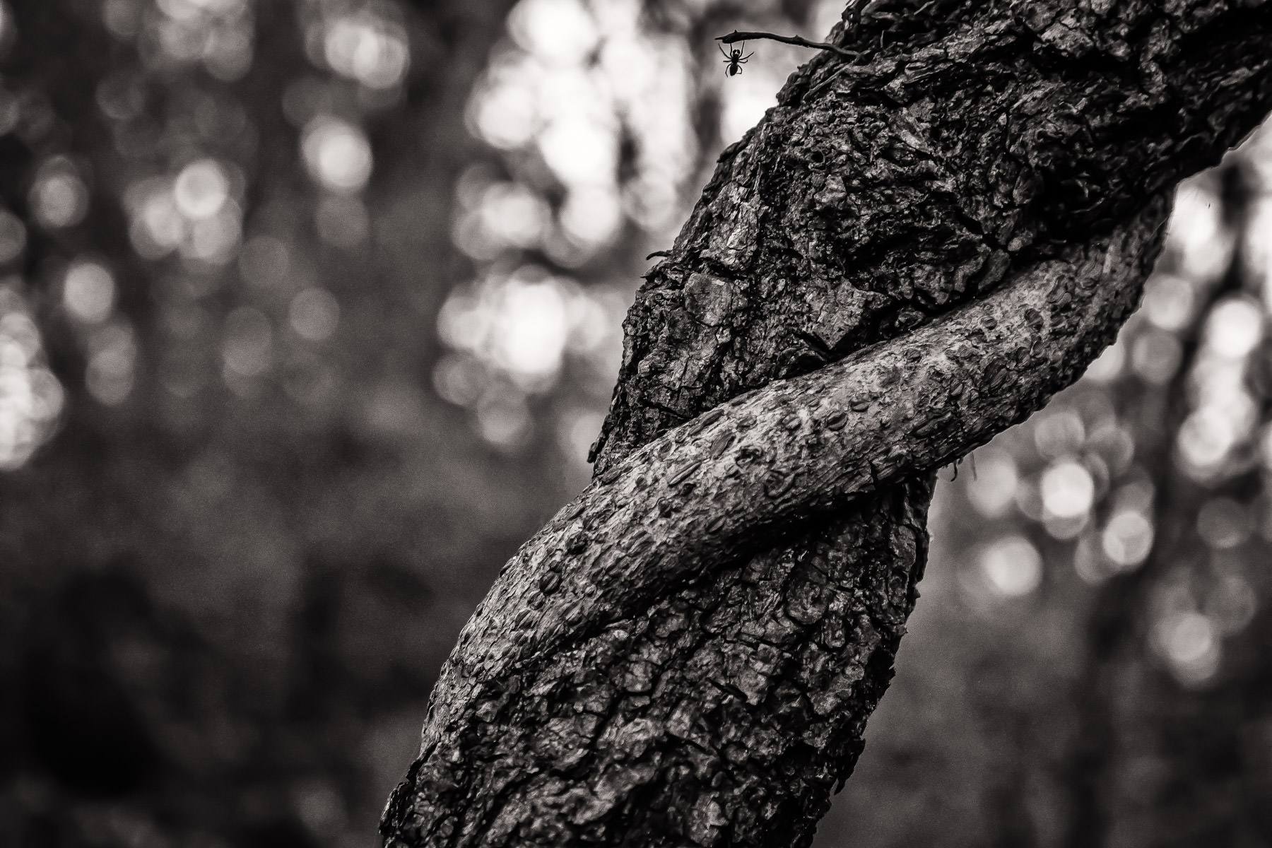 A spider clings to a twig on a vine-wrapped branch of a tree in Dallas' Great Trinity Forest.