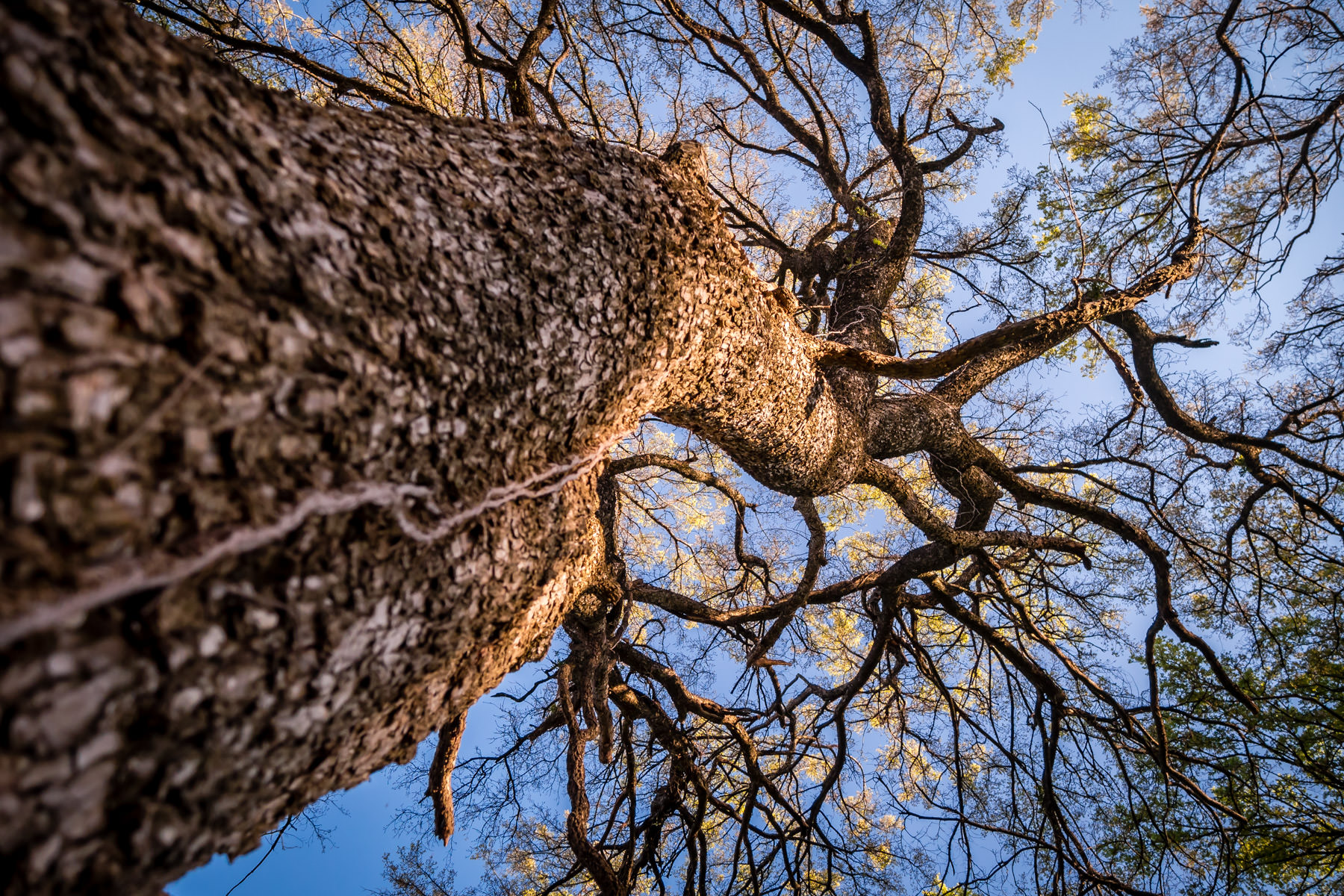 A tree in Dallas' Great Trinity Forest reaches into the clear blue North Texas sky.