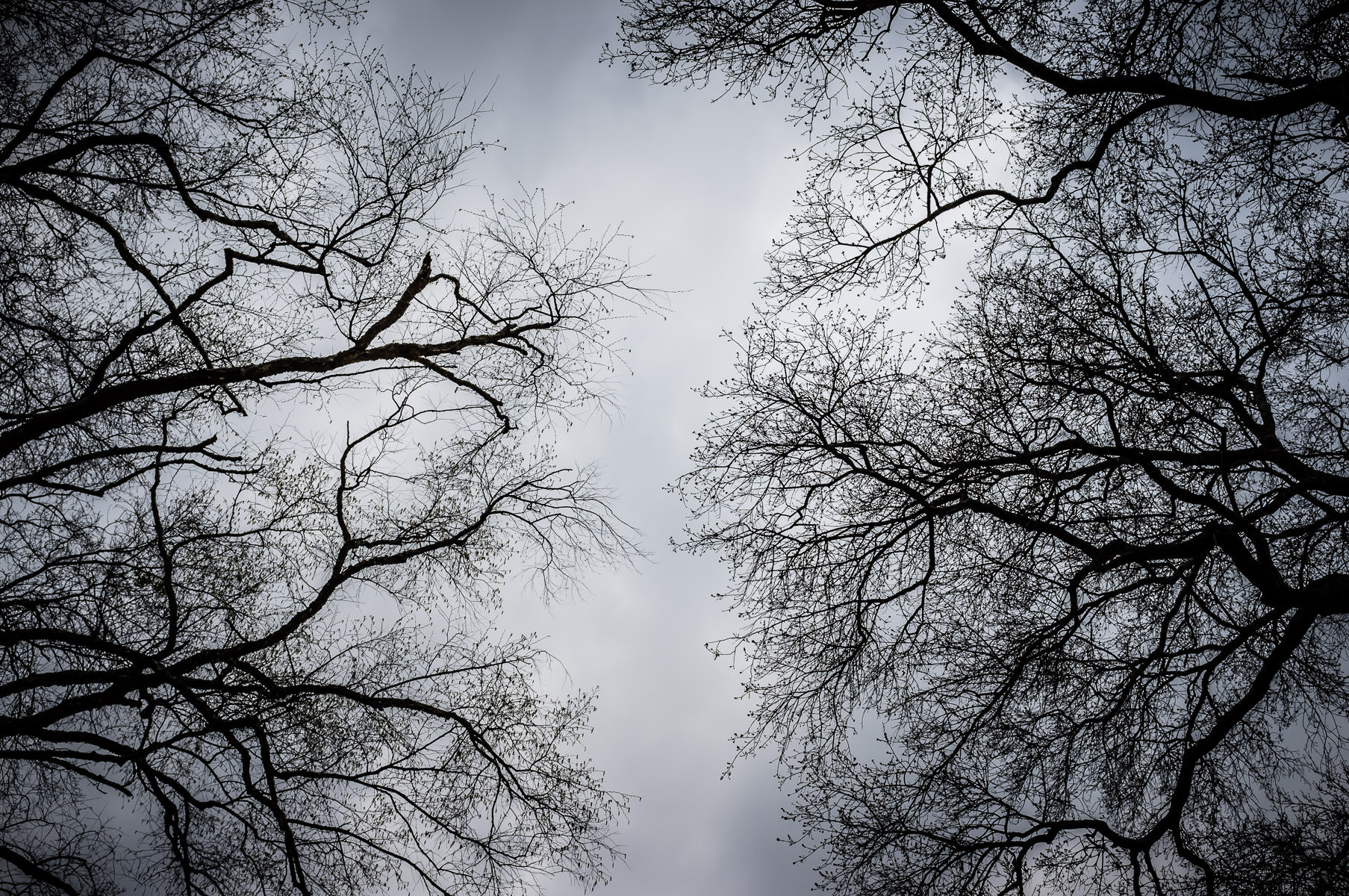 Two trees' branches reach towards one another on an overcast day in Gladewater, Texas.