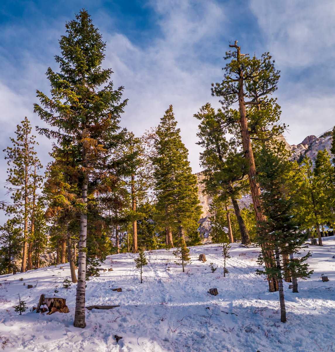 Trees rise from the snow on Nevada's Mount Charleston.