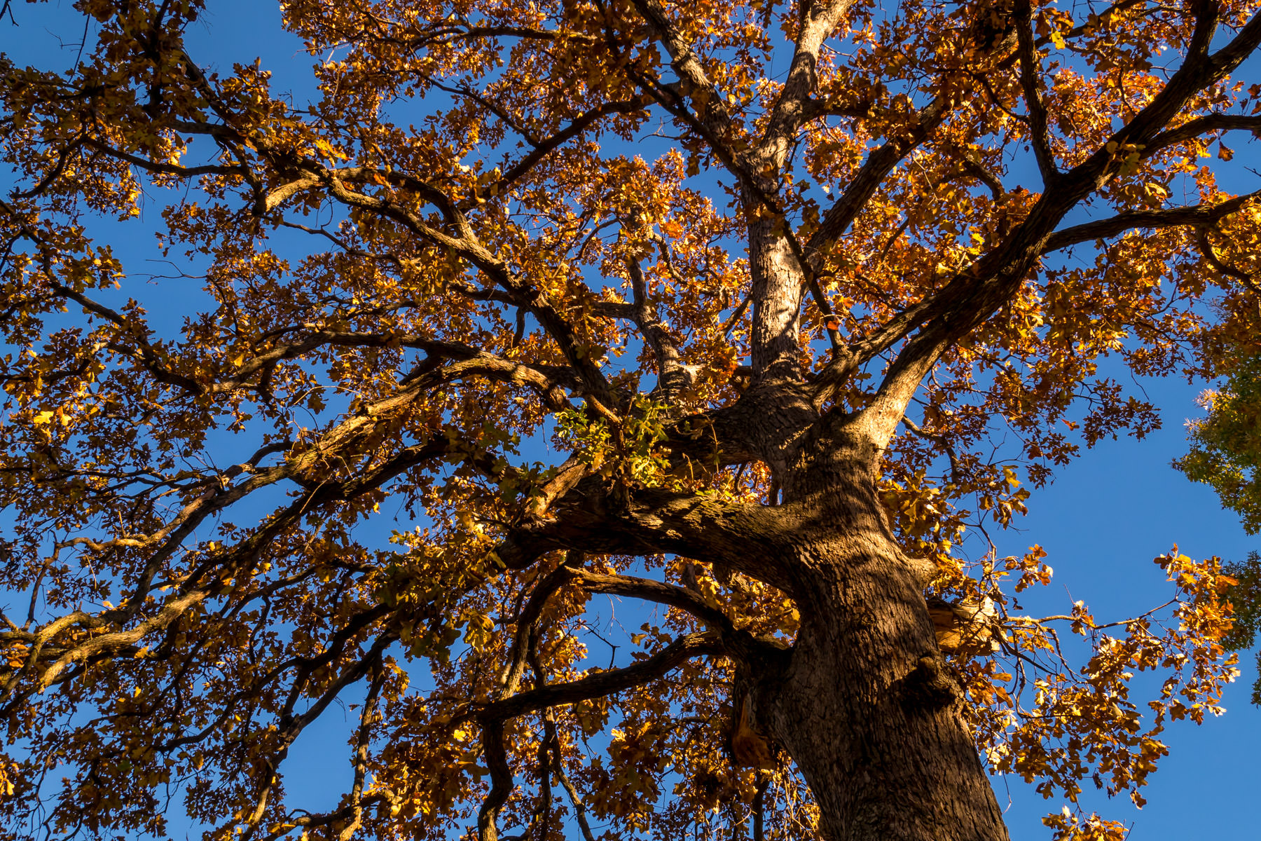 A tree reaches into the crisp Autumn sky at Tyler, Texas' Bergfeld Park.