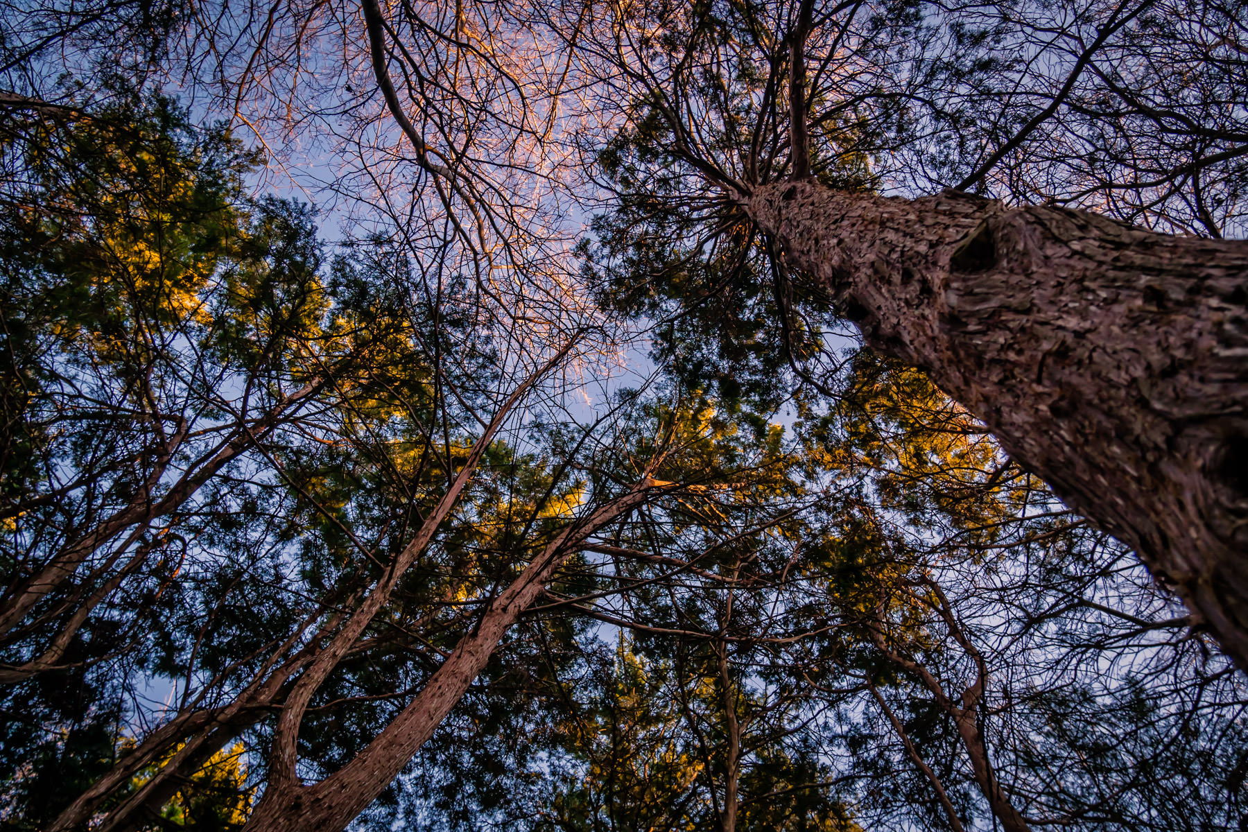 Trees reach for the sky as the sun begins to set on Addison, Texas' Bosque Park.