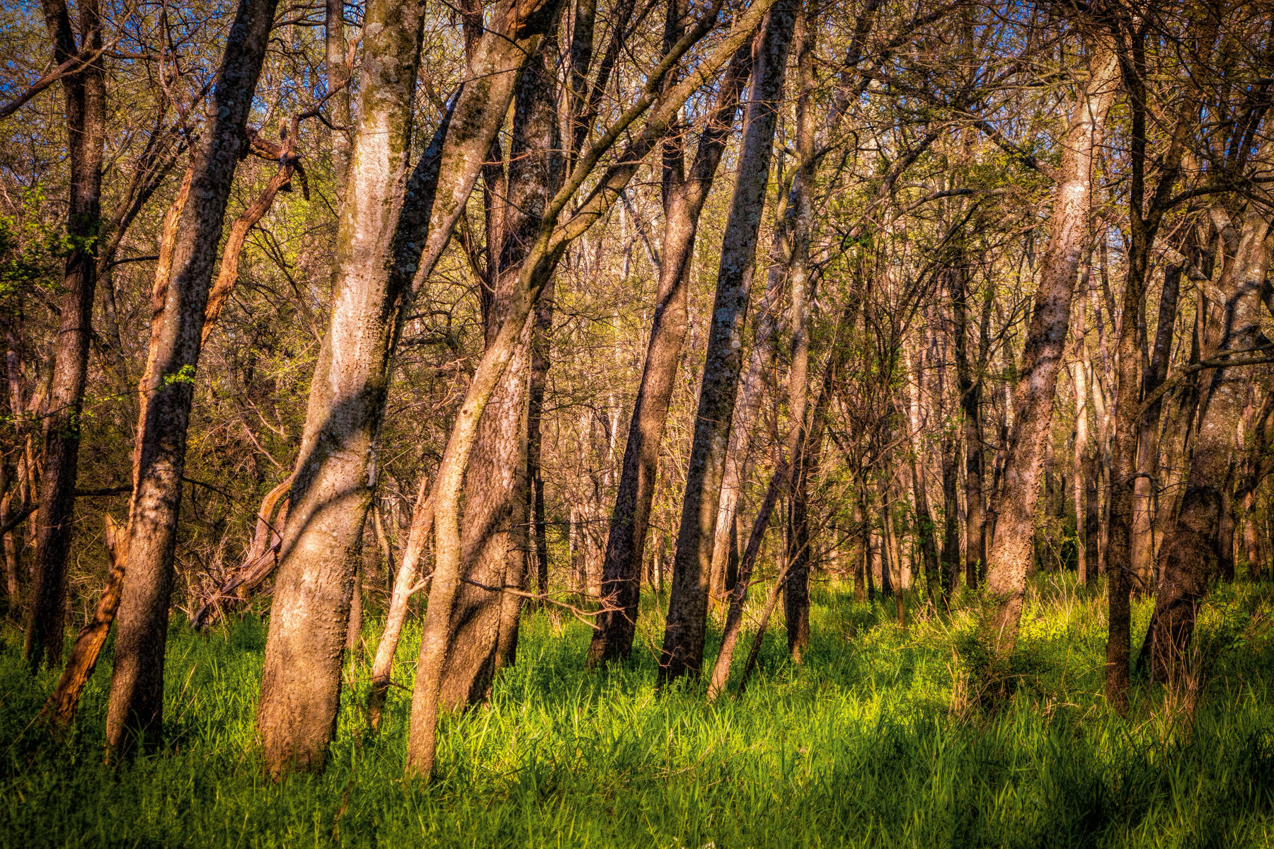 The morning sun illuminates trees in the Great Trinity Forest in Dallas, Texas.