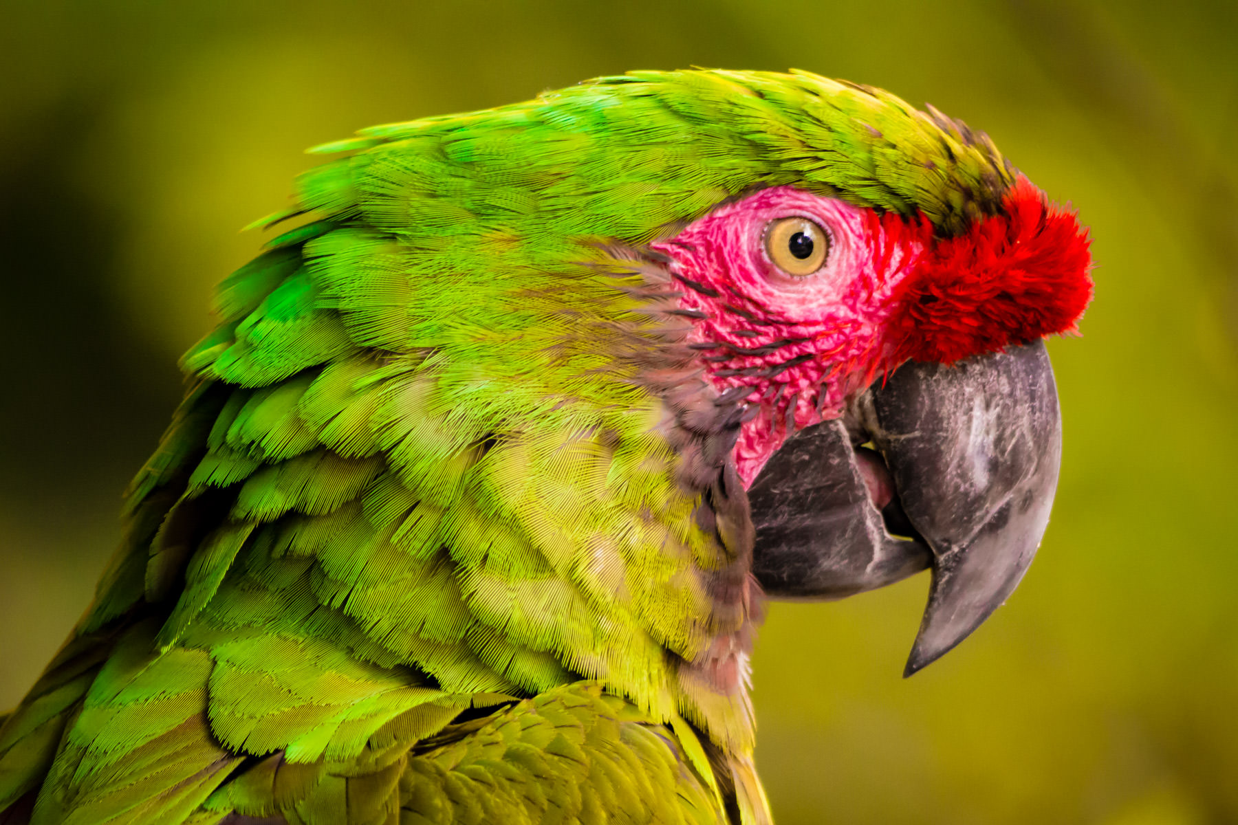 A green macaw eyes the camera at Tyler, Texas' Caldwell Zoo.