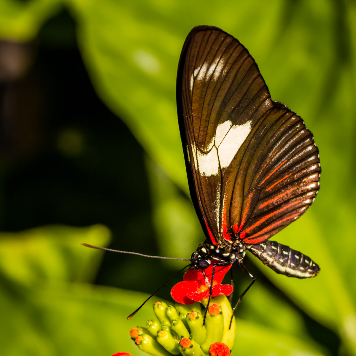 A butterfly enjoys a nectar snack at the Rosine Smith Sammons Butterfly House at the Texas Discovery Gardens in Dallas' Fair Park