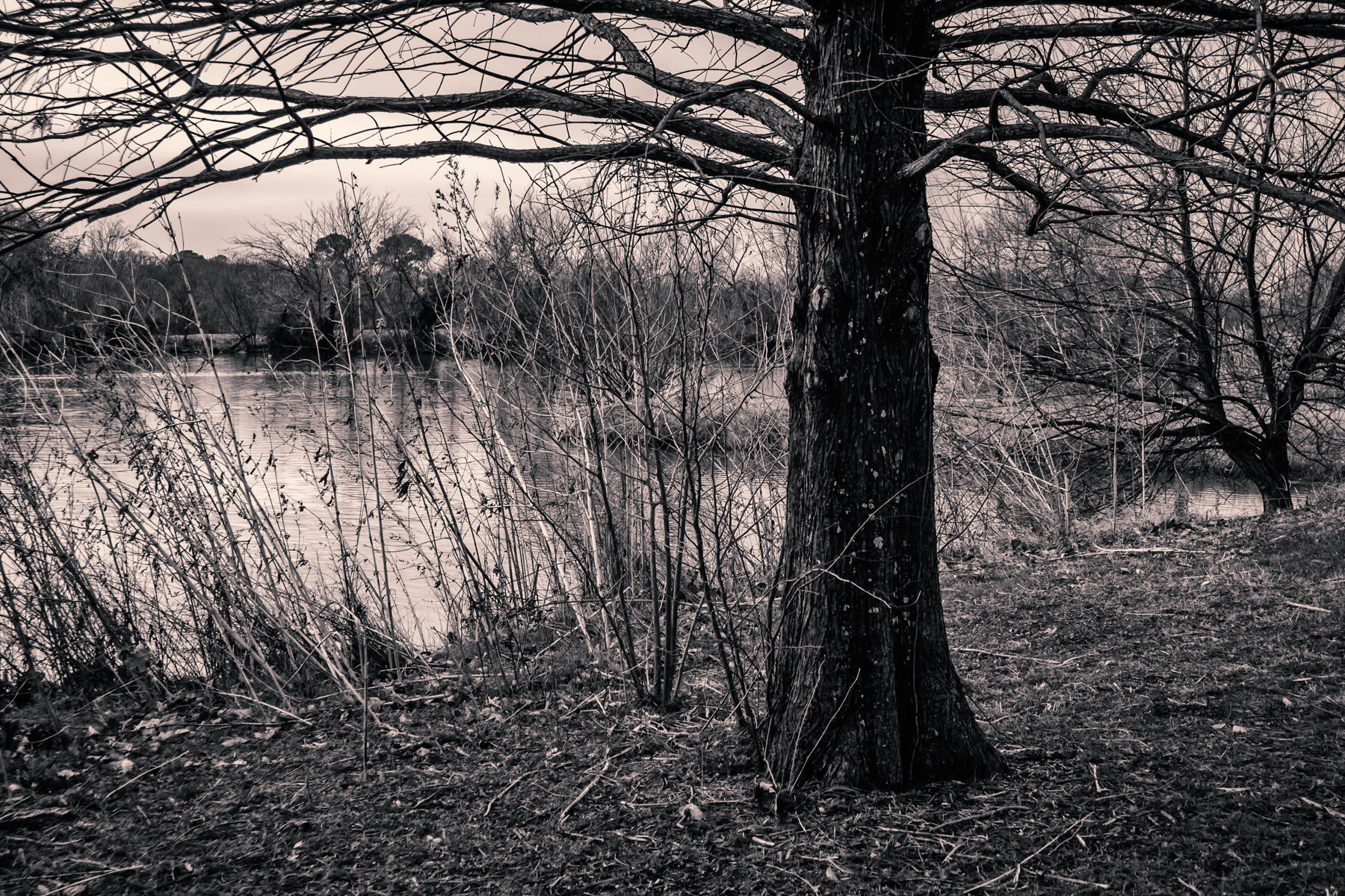 Trees and brush growing along the shore of a pond on the campus of the University of North Texas in Denton.