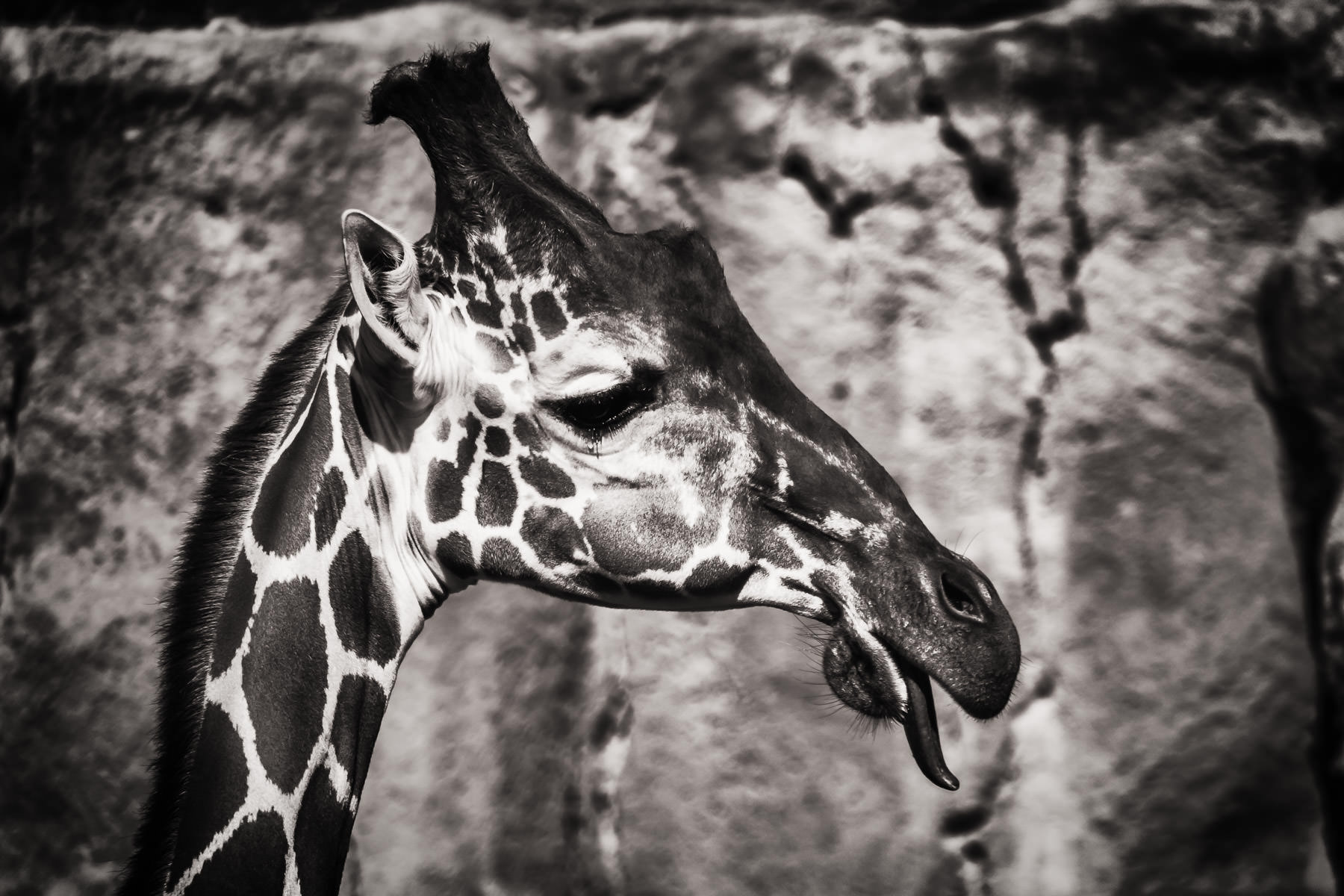 A giraffe sticks out his tongue at the Dallas Zoo.