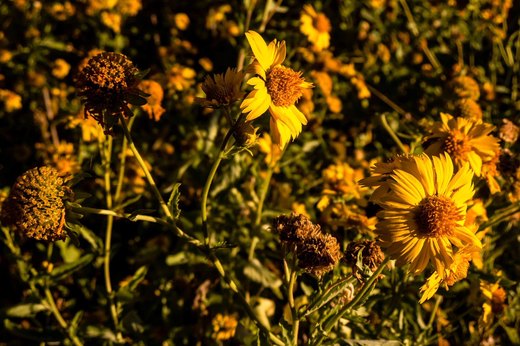 Daisies at the Fort Worth Nature Center & Refuge greet the morning sun.