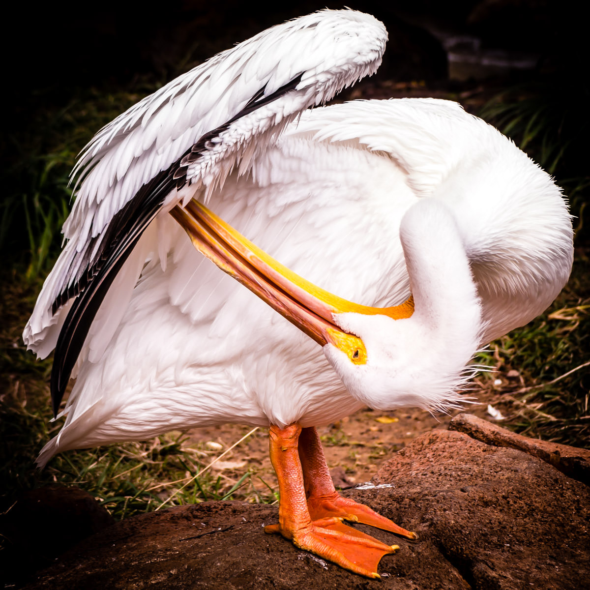 A pelican preens itself at Tyler, Texas' Caldwell Zoo.