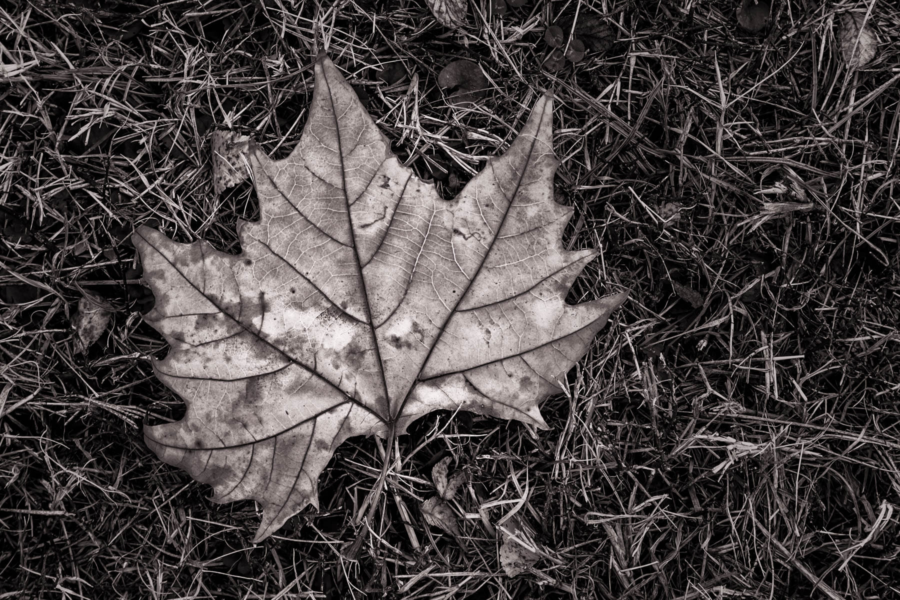 A maple leaf lies on the ground at Richardson, Texas' Breckinridge Park.