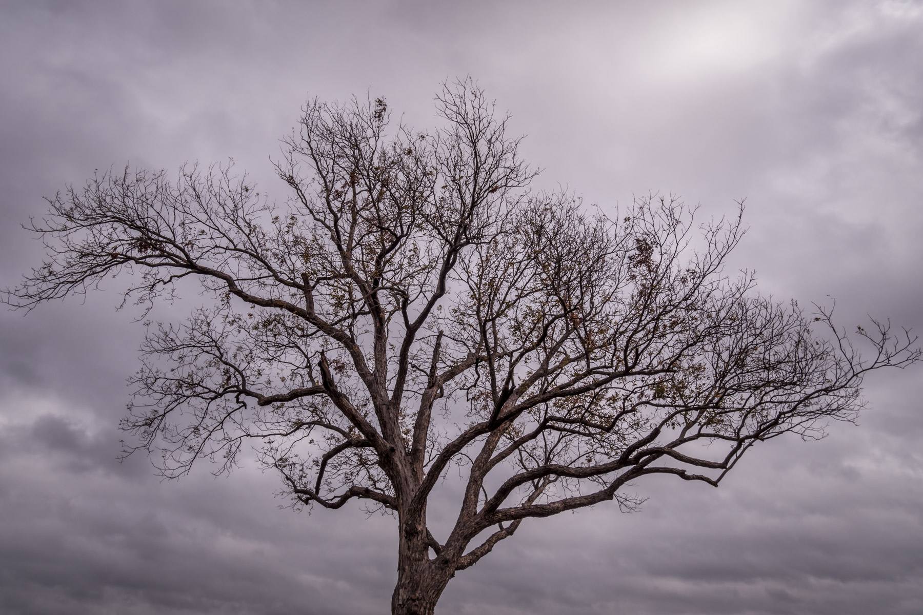 A tree's crown reaches into the overcast sky at Breckinridge Park, Richardson, Texas.