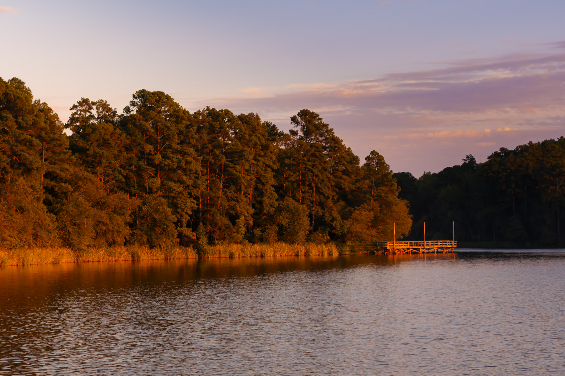 The late evening sun illuminates pine trees along the shoreline of the lake at Tyler State Park, Texas.