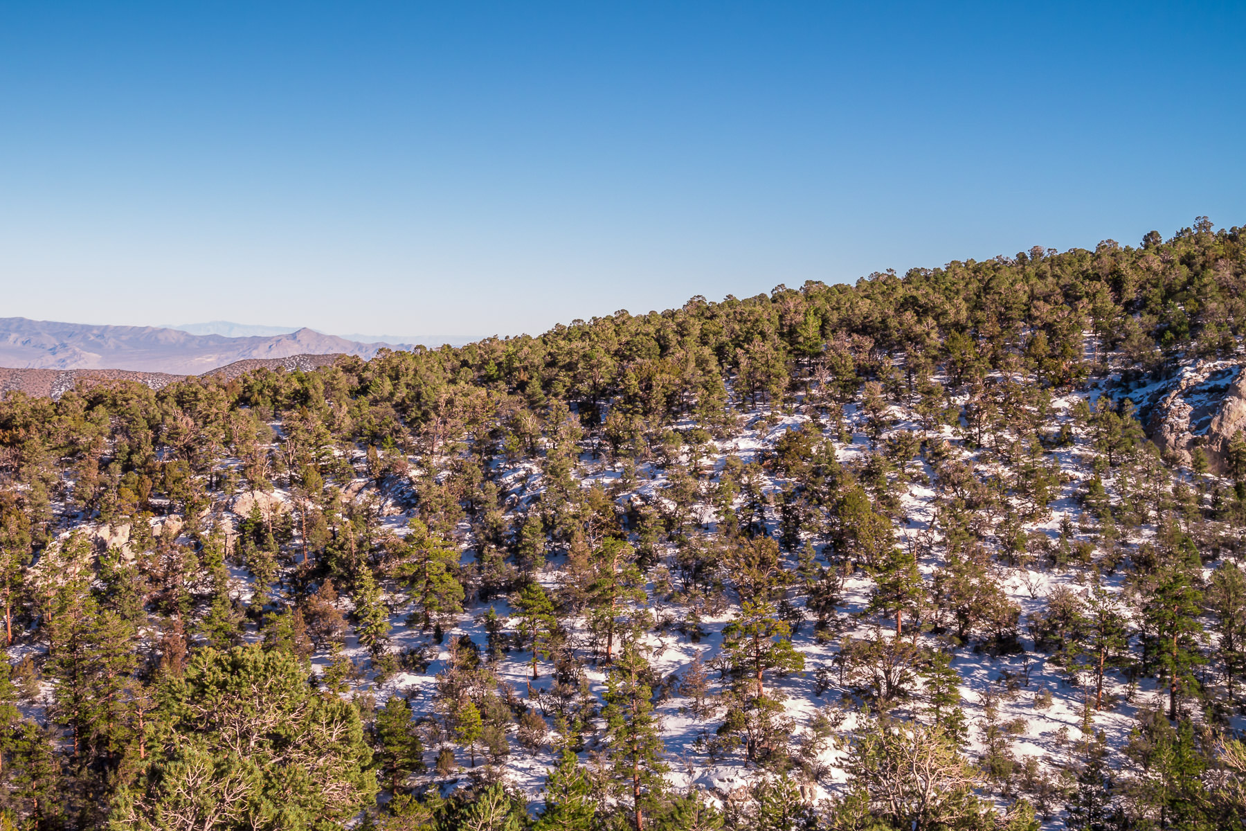 Evergreen trees grow in the wintry foothills of Nevada's Mount Charleston, near Las Vegas.
