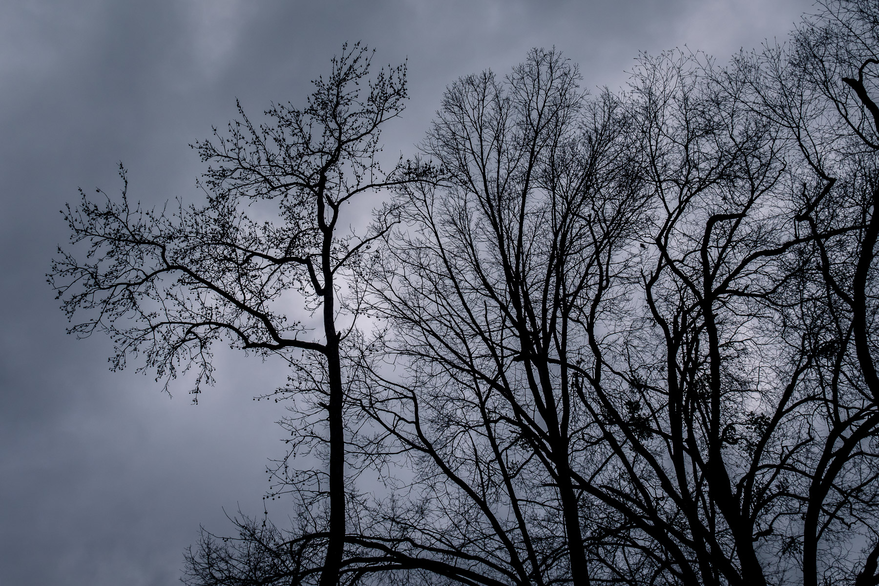 Trees reach into the cloudy, overcast sky on a cold winter day in Tyler, Texas.