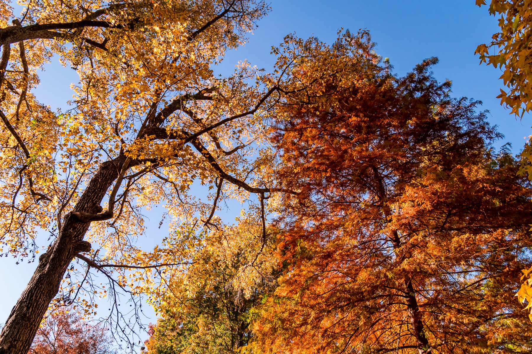 The many colors of autumn trees in Tyler, Texas' Bergfeld Park.