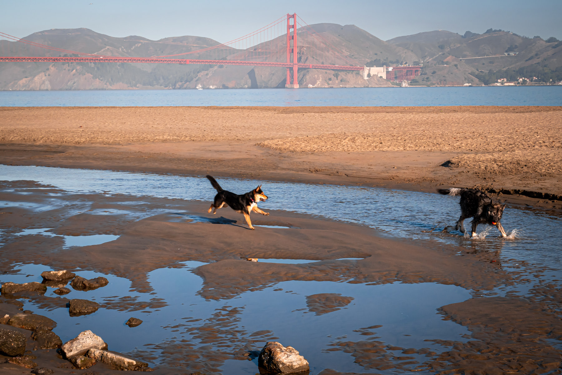 Dogs play on the beach at Crissy Field, San Francisco.