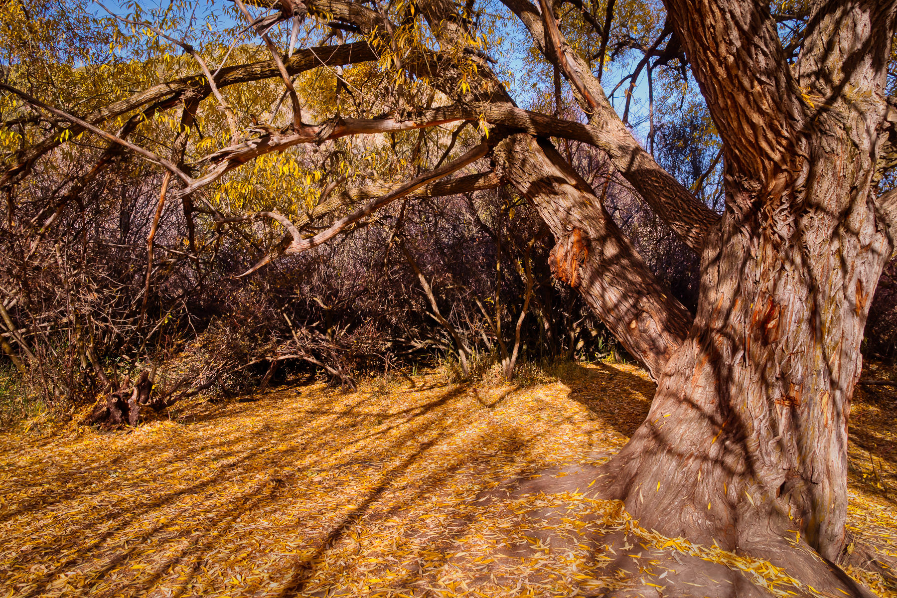 Autumn leaves cover the ground under a tree at Cherry Springs Nature Area near Pocatello, Idaho.