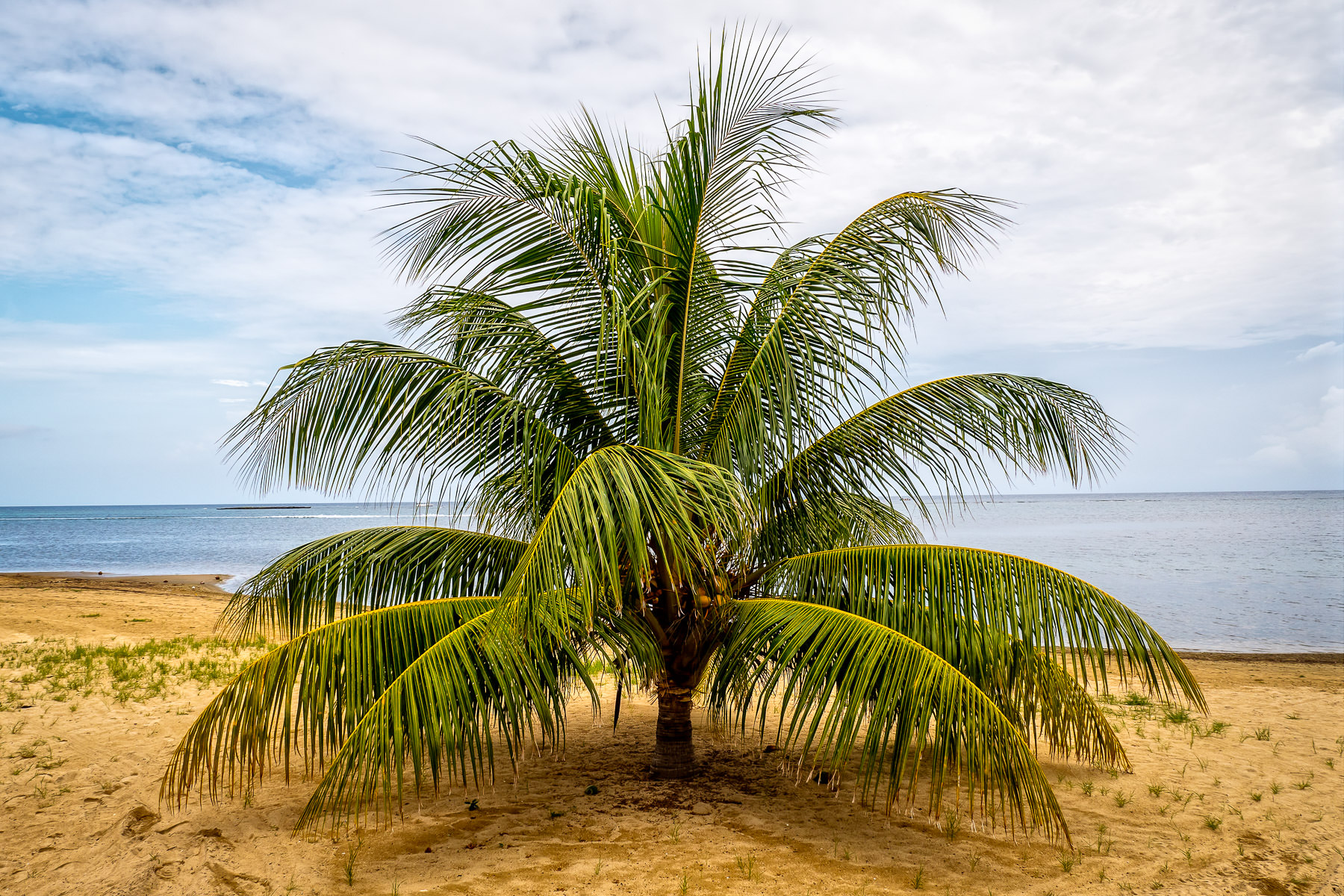 A short palm tree grows on a Roatan, Honduras, beach.