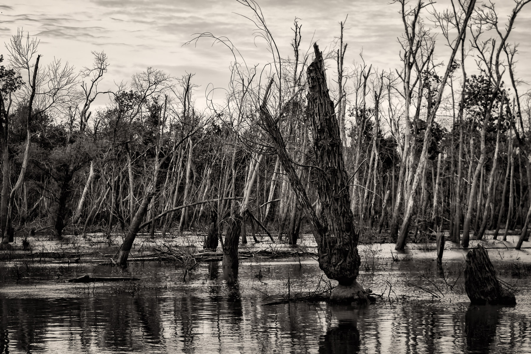 Dead trees rise from the swampy waters at the Hagerman National Wildlife Refuge, Texas.