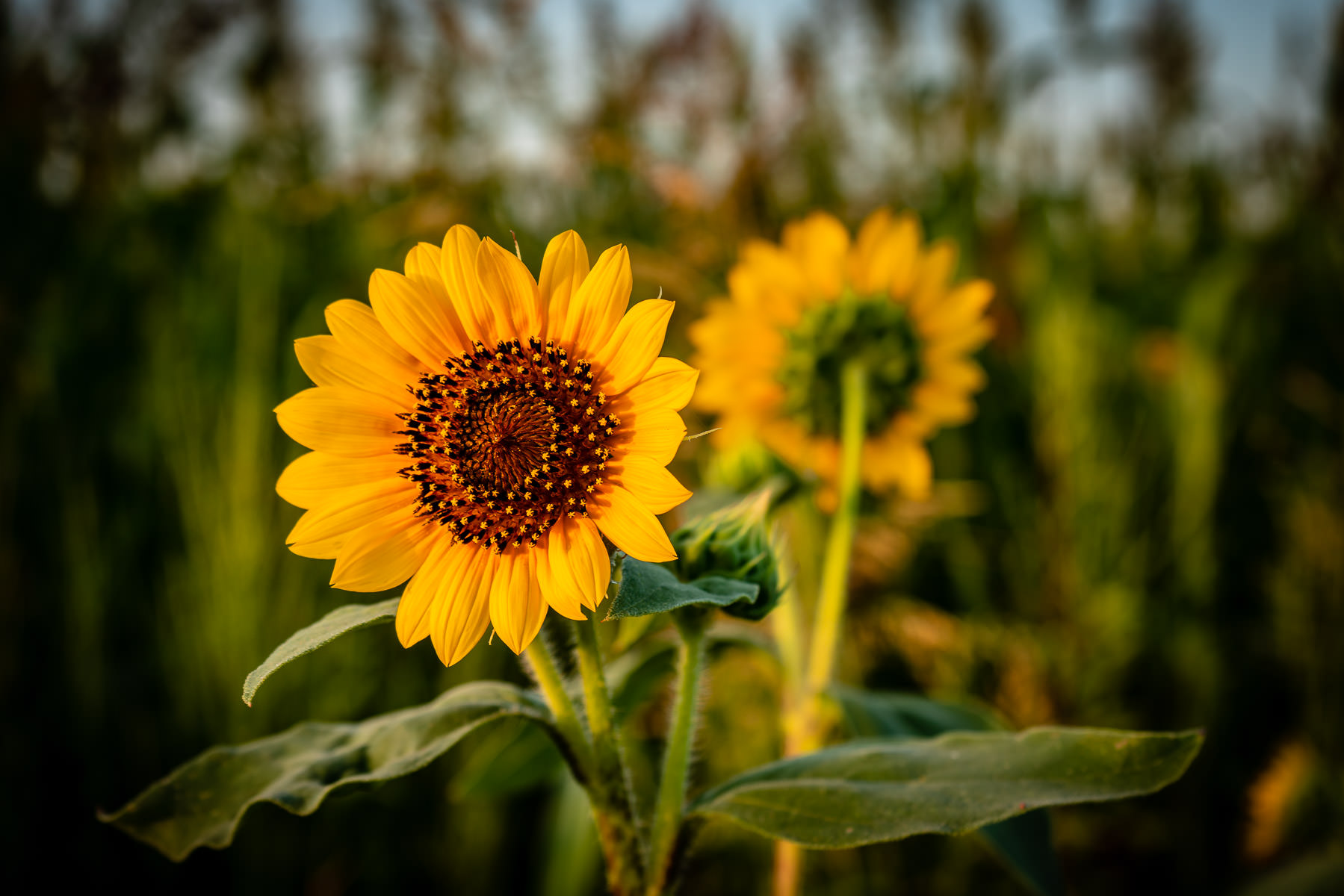 Sunflowers catch the early-morning sun in a field at Frisco, Texas.