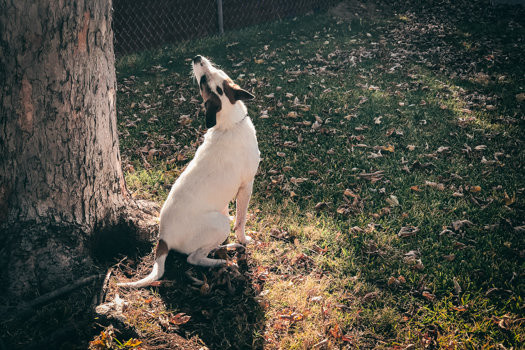 One of our dogs, Millie, investigates a sound in a tree.