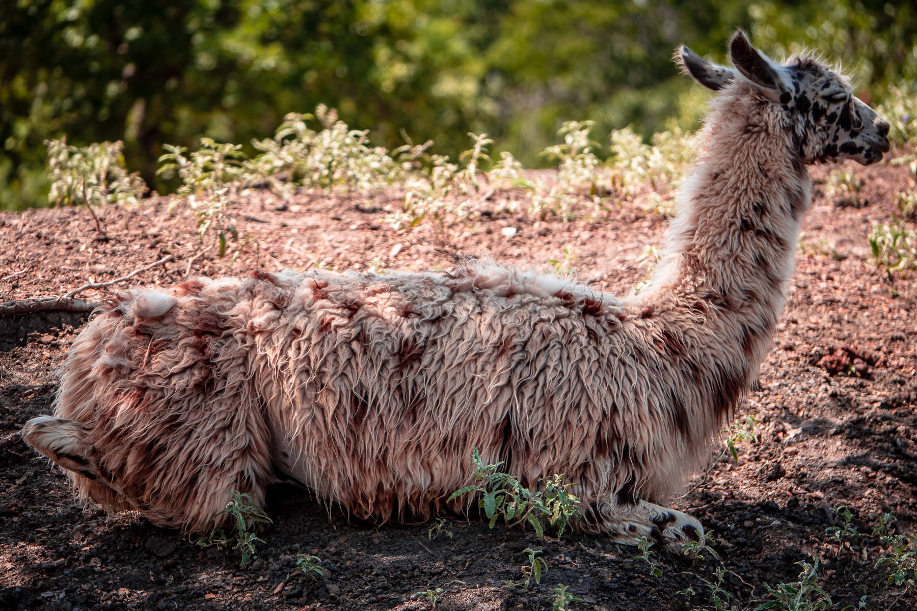 An alpaca rests in the shade at Arbuckle Wilderness Park near Davis, Oklahoma.