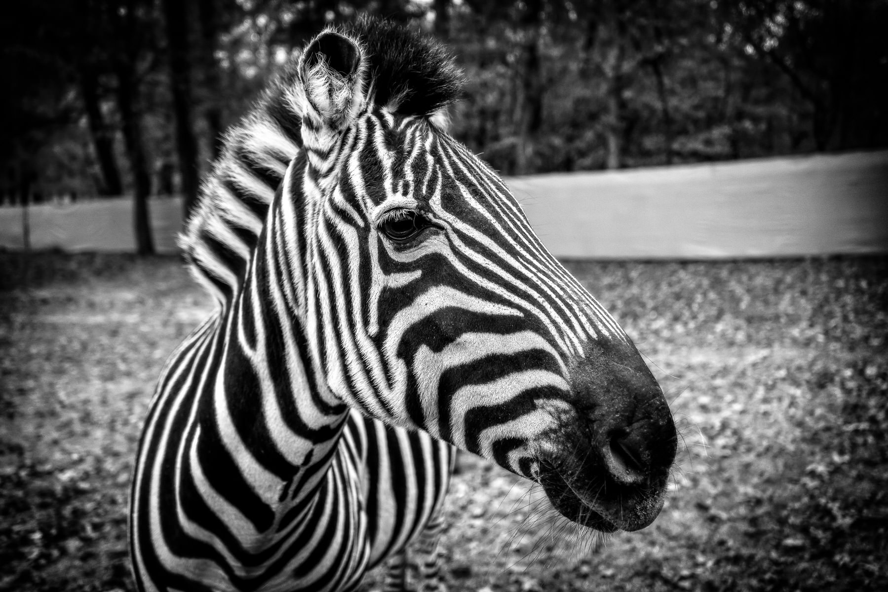 A zebra spotted at Cherokee Trace Drive-Thru Safari near Jacksonville, Texas.