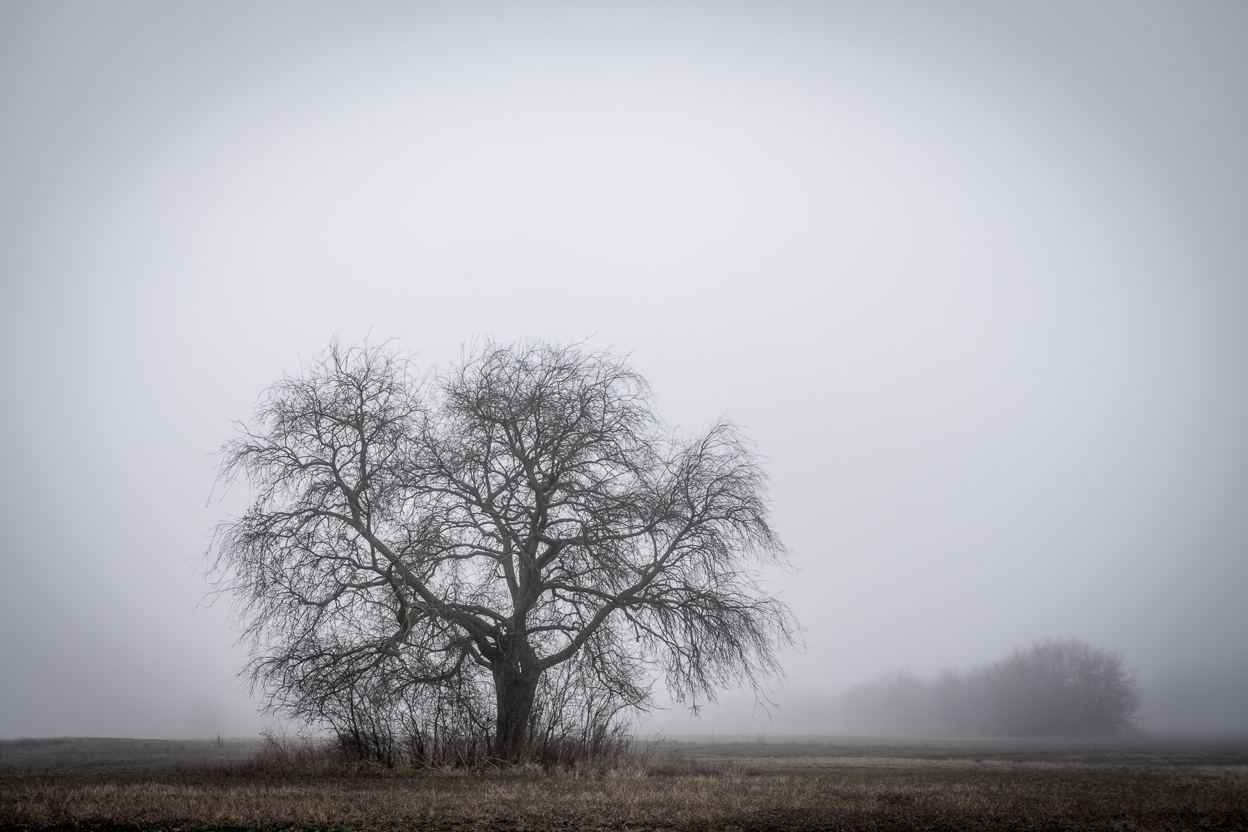 A tree in a foggy field near McKinney, Texas.