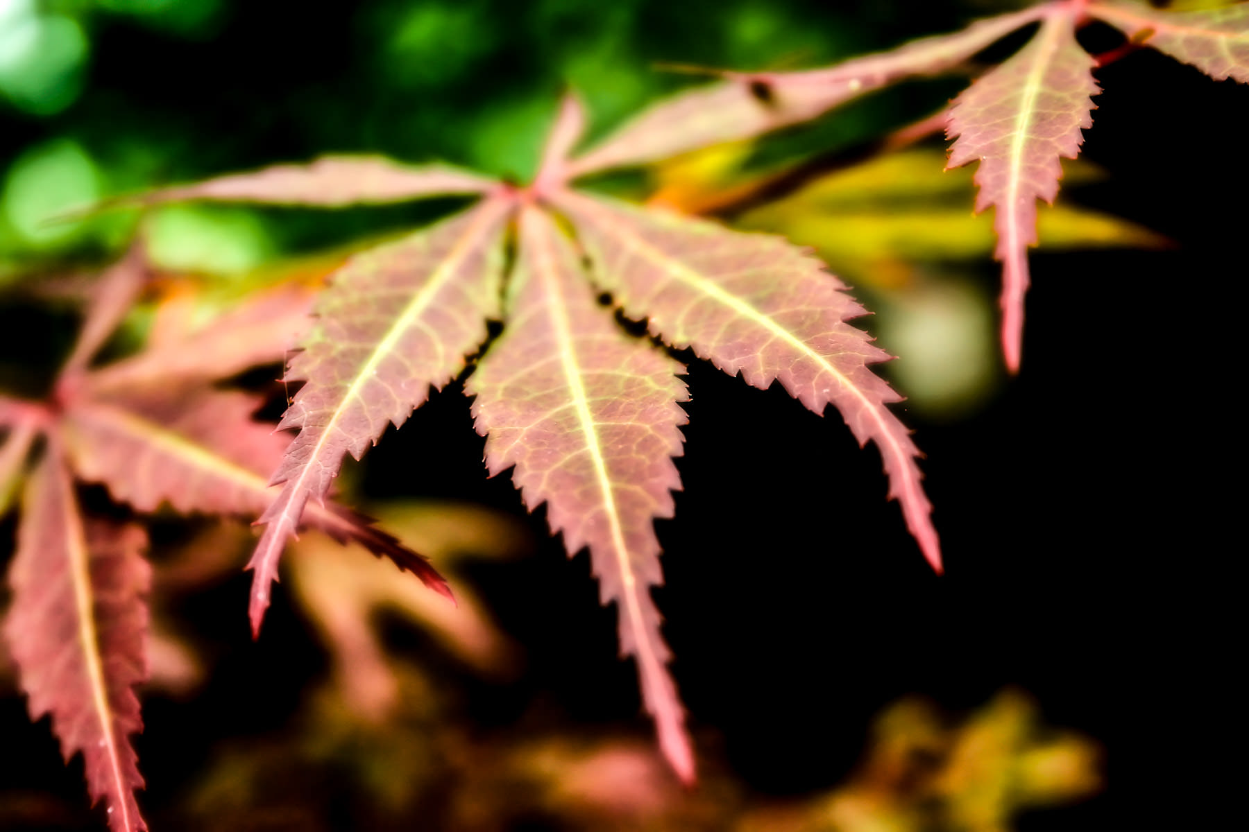 The leaves of a Japanese Maple tree at my mother's house in Tyler, Texas.