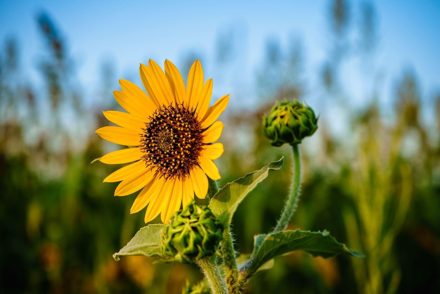 A sunflower greets the morning sun in a field near Dallas, Texas.