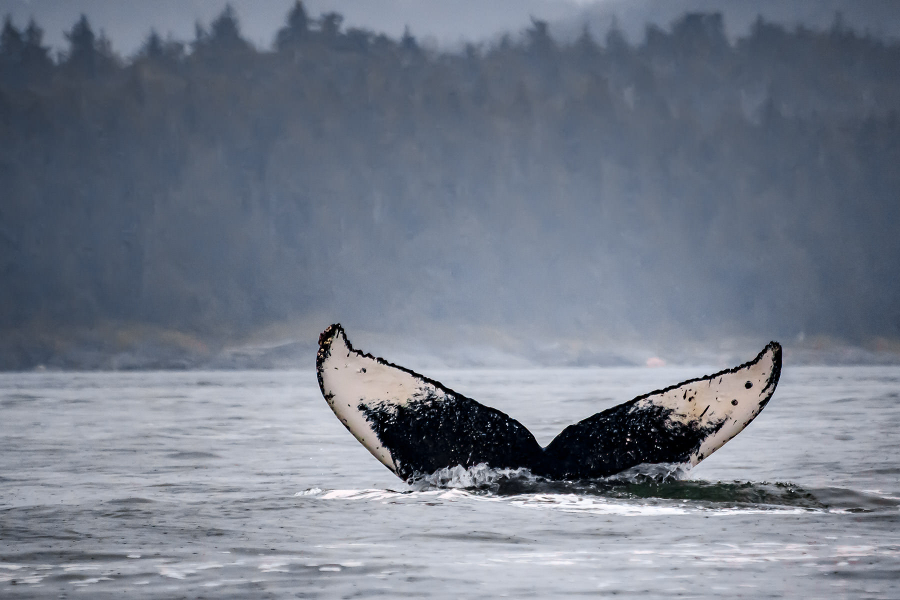 A humpback whale dives under the surface of a bay near Juneau, Alaska.