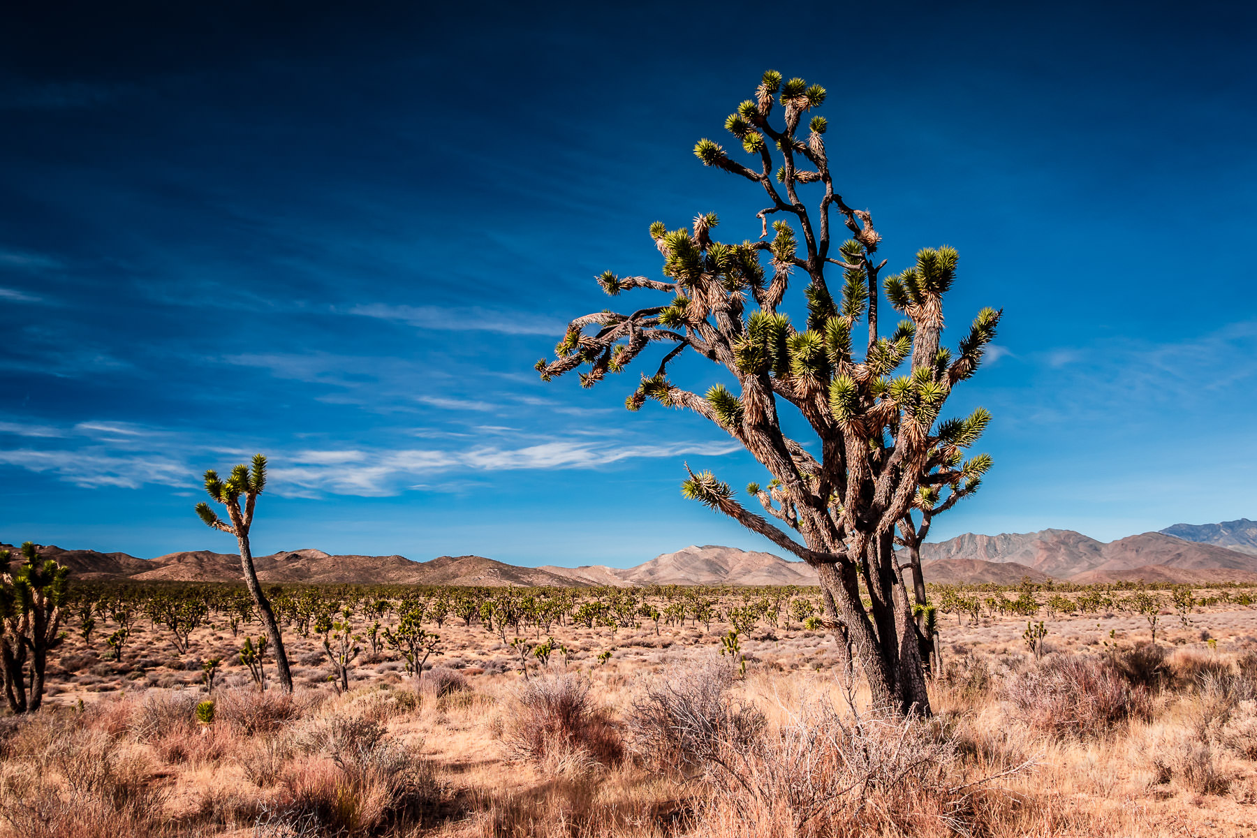 Joshua trees rise from the desert at California's Mojave National Preserve.